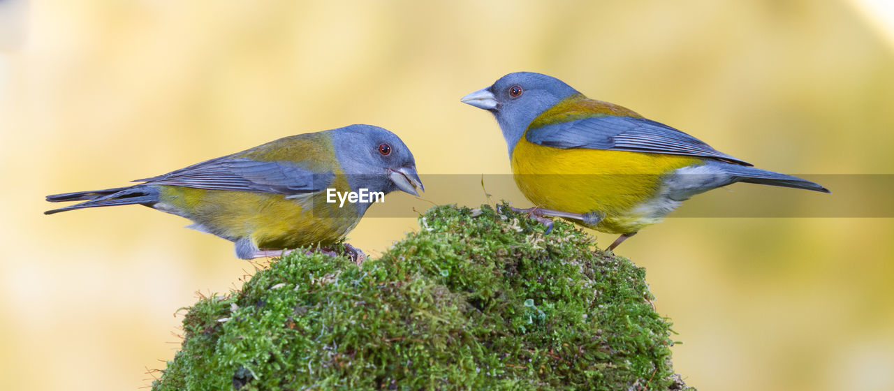 bird, animals in the wild, animal wildlife, animal themes, vertebrate, animal, group of animals, two animals, perching, no people, close-up, focus on foreground, day, plant, nature, tree, yellow, outdoors, togetherness, selective focus