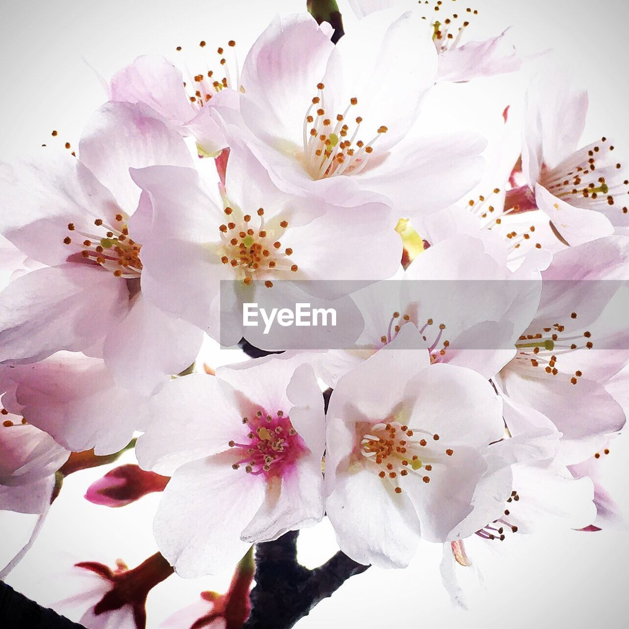 flower, blossom, springtime, fragility, white color, cherry blossom, freshness, beauty in nature, stamen, botany, petal, apple blossom, pollen, almond tree, cherry tree, apple tree, nature, orchard, no people, flower head, close-up, tree, growth, branch, pink color, day, full frame, backgrounds, outdoors