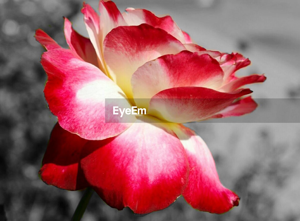 flower, petal, beauty in nature, flower head, fragility, nature, red, growth, close-up, freshness, no people, pink color, outdoors, plant, blooming, day