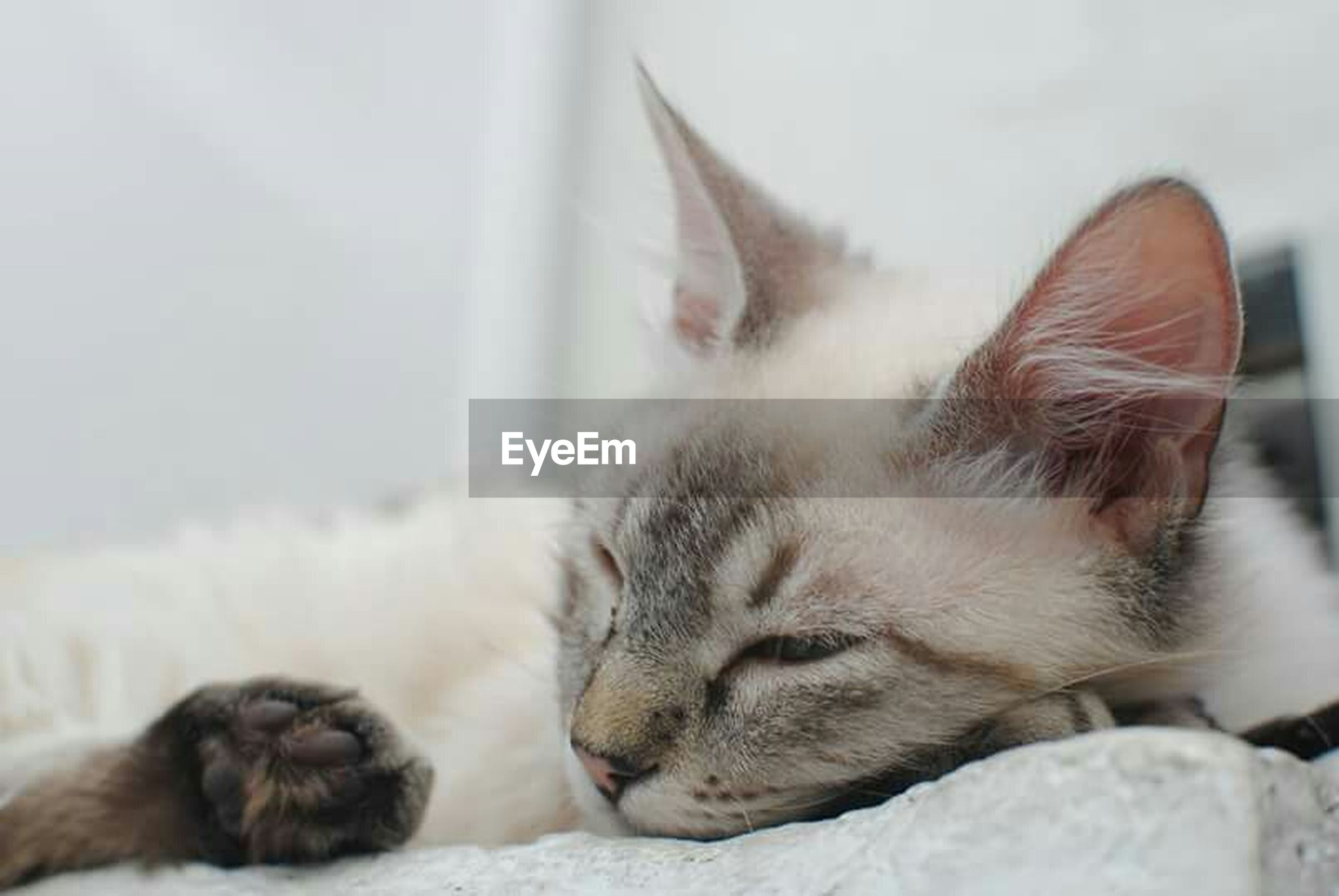animal themes, one animal, domestic animals, pets, mammal, domestic cat, cat, relaxation, feline, resting, sleeping, indoors, whisker, lying down, close-up, eyes closed, focus on foreground, relaxing, home interior, two animals