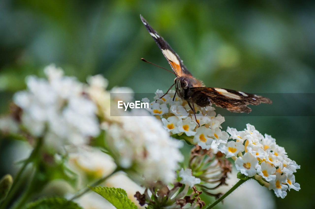 flower, flowering plant, animal wildlife, plant, invertebrate, animal themes, animals in the wild, insect, animal, one animal, beauty in nature, fragility, growth, vulnerability, freshness, close-up, petal, pollination, flower head, selective focus, animal wing, no people, outdoors, butterfly - insect