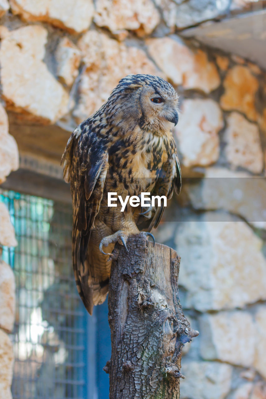Eurasian Eagle Owl Perching On Wooden Post At Zoo