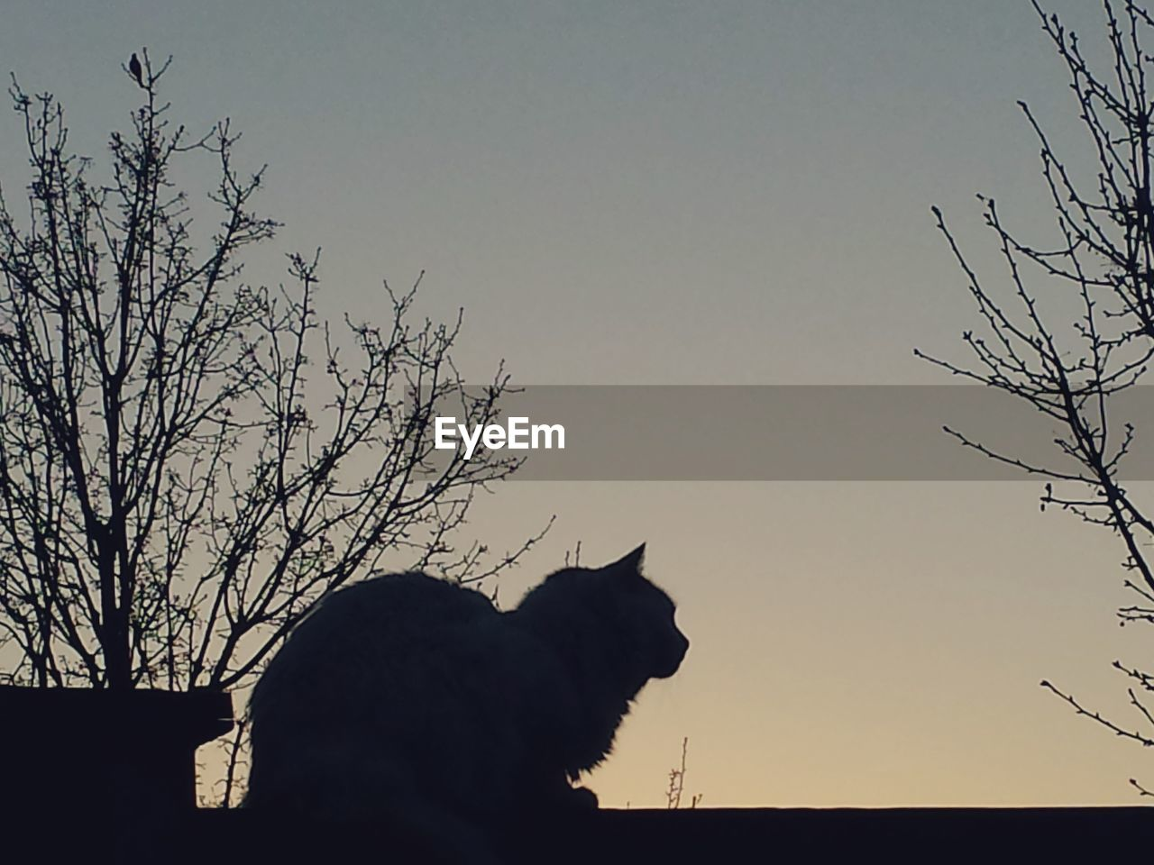 silhouette, one animal, animal themes, domestic animals, sunset, mammal, nature, clear sky, domestic cat, outdoors, sky, low angle view, bare tree, no people, pets, tree, beauty in nature, day