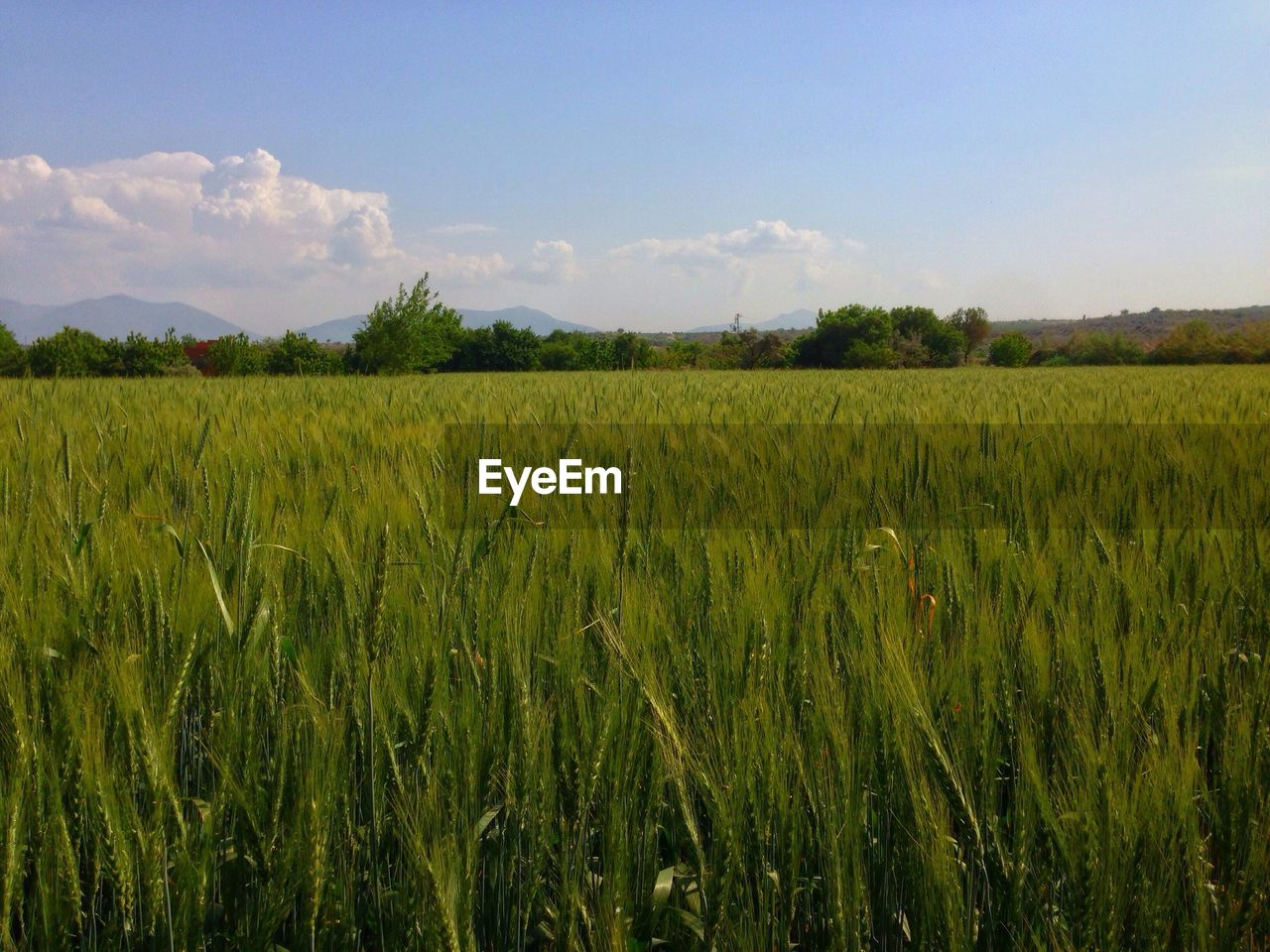 agriculture, growth, field, nature, tranquility, landscape, farm, beauty in nature, green color, crop, green, tranquil scene, cereal plant, sky, no people, outdoors, scenics, plant, rural scene, day, tree, wheat, grass