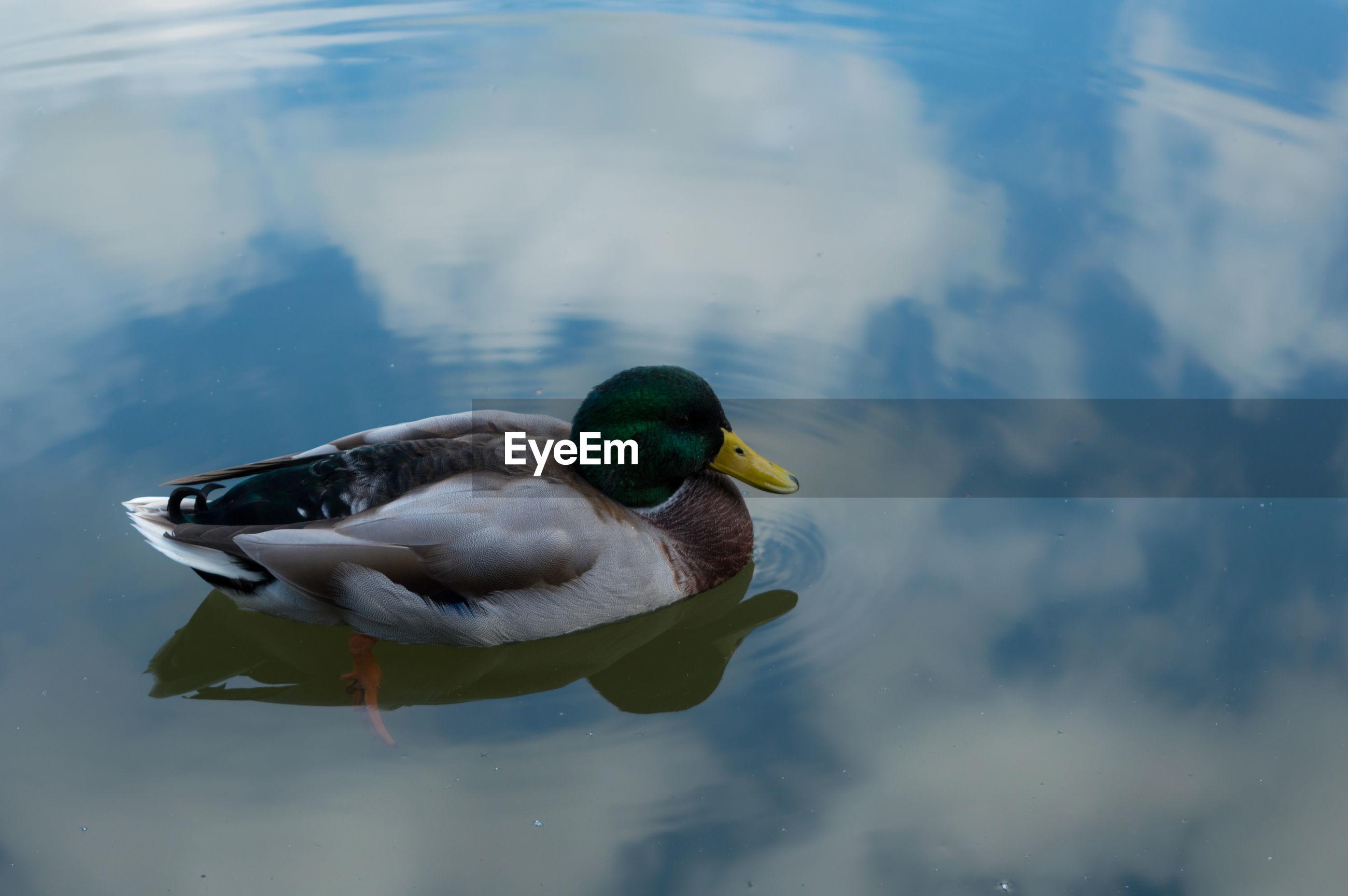 Duck on calm lake