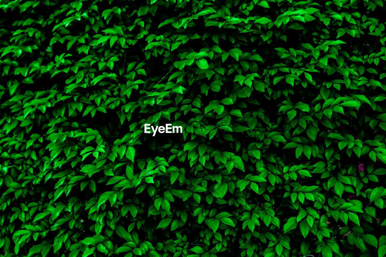 green color, growth, full frame, plant, backgrounds, no people, beauty in nature, nature, plant part, leaf, close-up, day, tranquility, foliage, tree, outdoors, lush foliage, selective focus, land, freshness