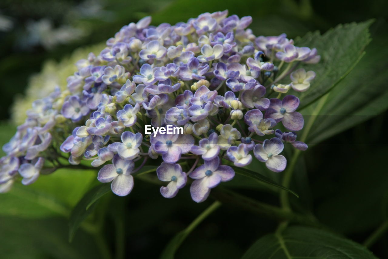 flower, beauty in nature, purple, fragility, nature, freshness, growth, petal, plant, day, hydrangea, no people, outdoors, close-up, blooming, flower head