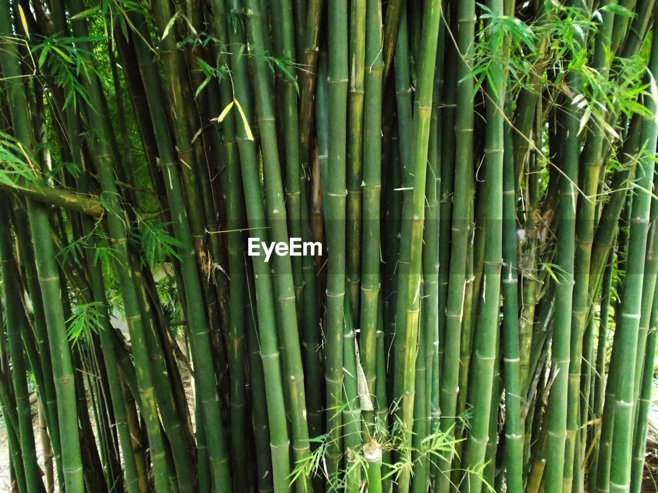plant, growth, green color, bamboo - plant, bamboo, bamboo grove, land, nature, beauty in nature, no people, day, backgrounds, full frame, tranquility, forest, outdoors, field, close-up, tree, green