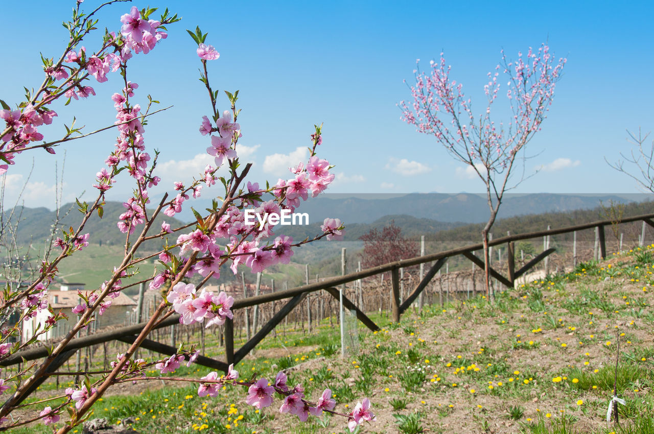 plant, flower, flowering plant, beauty in nature, growth, freshness, nature, pink color, sky, tree, tranquility, mountain, day, tranquil scene, land, field, no people, scenics - nature, fragility, springtime, outdoors, cherry blossom