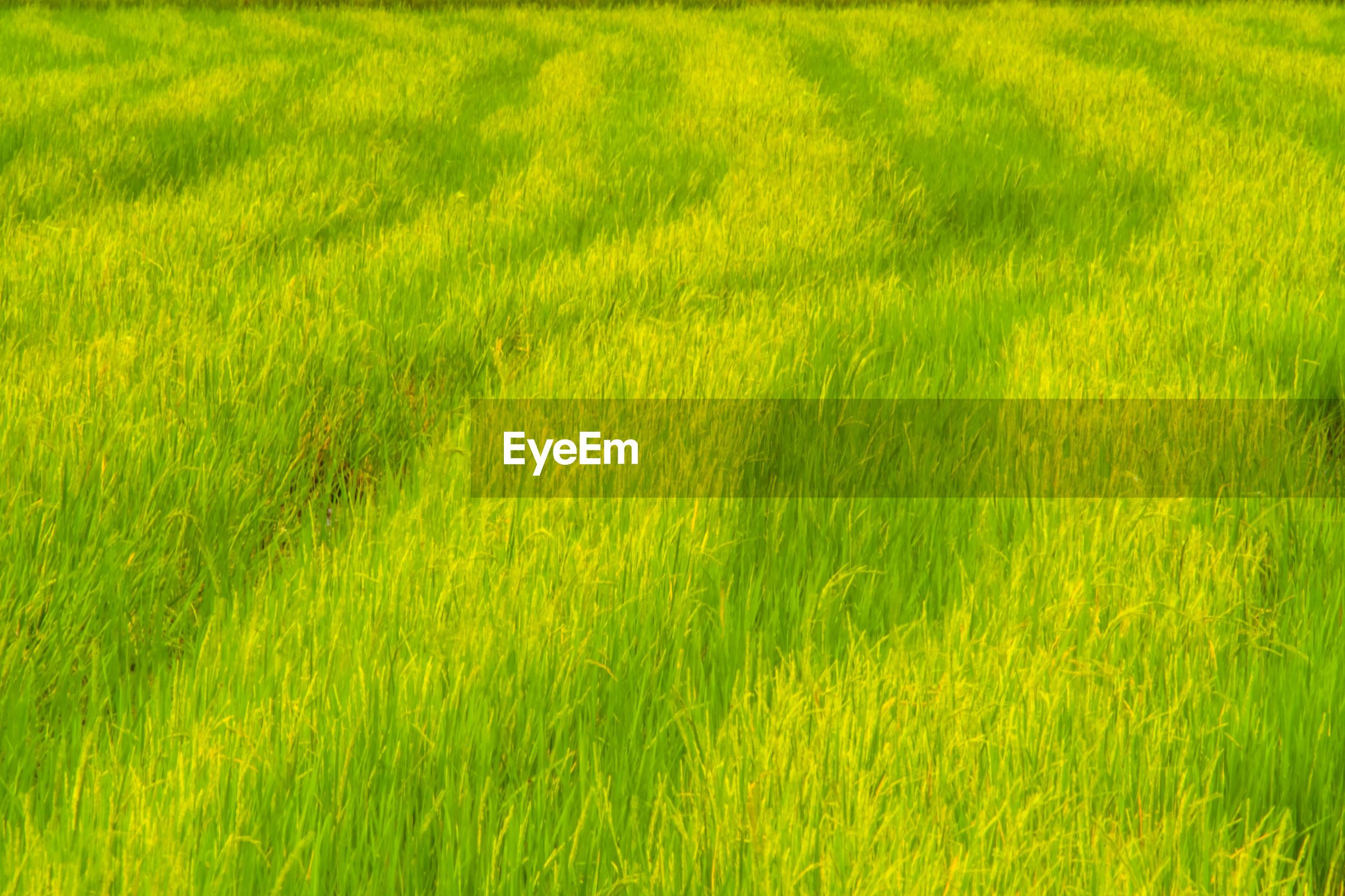 FULL FRAME SHOT OF FRESH GREEN GRASS IN FIELD