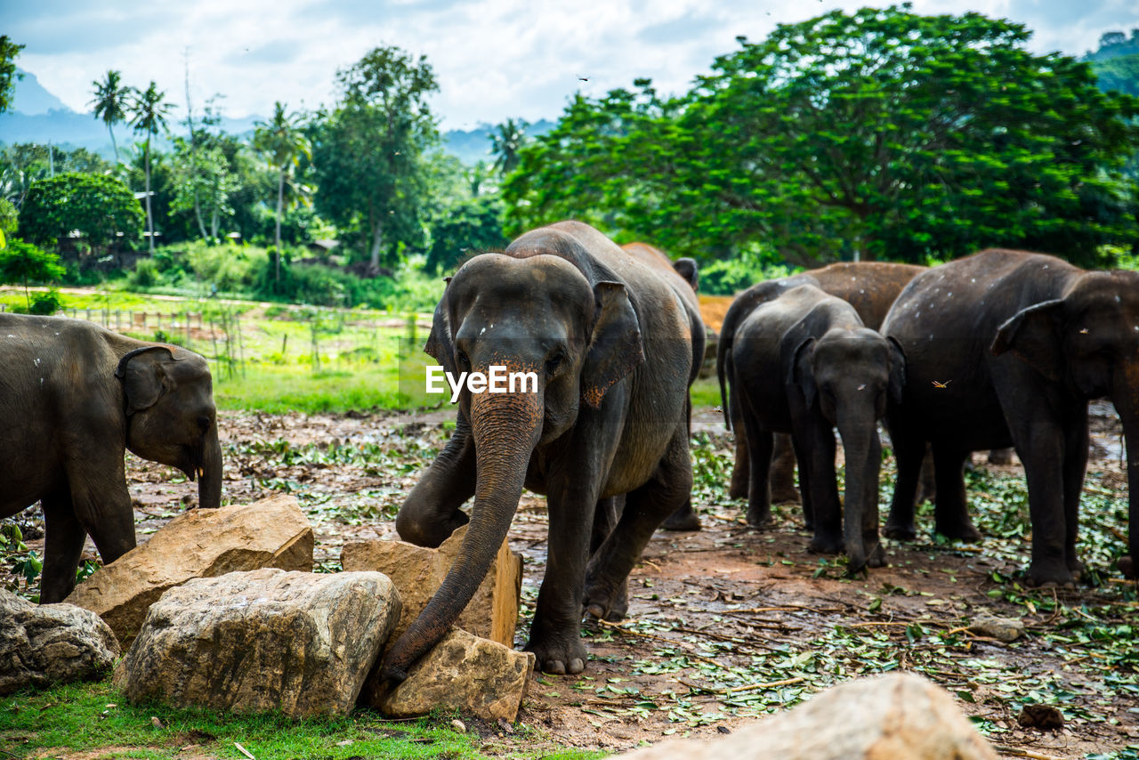 group of animals, animal, animal themes, plant, elephant, animals in the wild, tree, mammal, nature, animal wildlife, vertebrate, no people, land, day, medium group of animals, field, animal family, green color, forest, outdoors, herbivorous, animal trunk, herd
