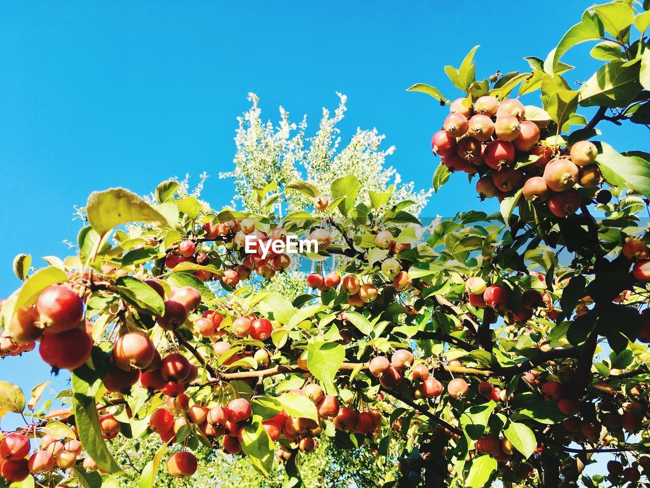 healthy eating, fruit, food and drink, food, plant, growth, freshness, sky, wellbeing, nature, tree, no people, clear sky, low angle view, day, leaf, beauty in nature, berry fruit, plant part, green color, ripe, outdoors, rowanberry