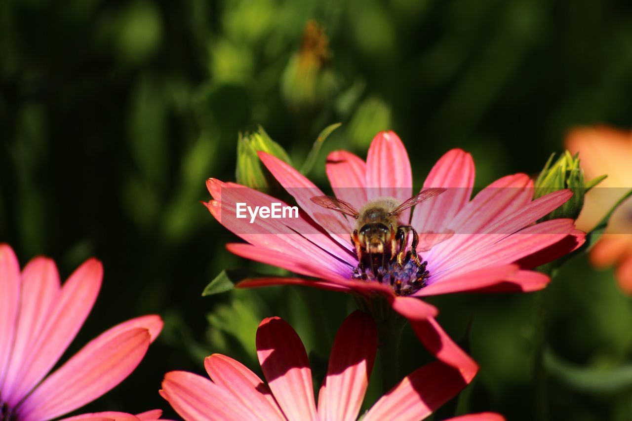 one animal, flower, growth, animal themes, insect, animals in the wild, petal, nature, animal wildlife, fragility, plant, beauty in nature, flower head, no people, day, bee, outdoors, freshness, pollination, close-up, blooming