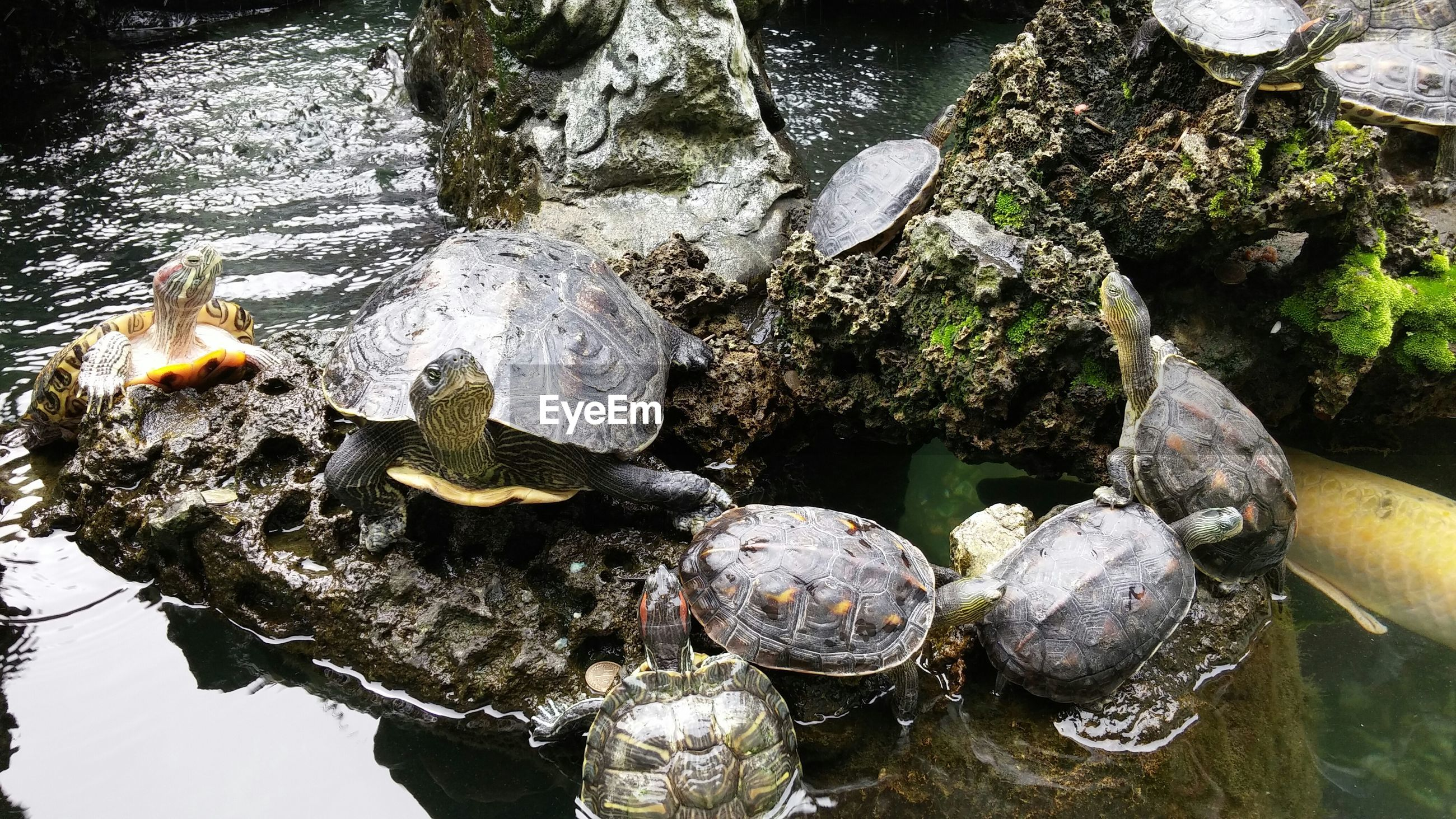 High angle view of turtles on rock in pond