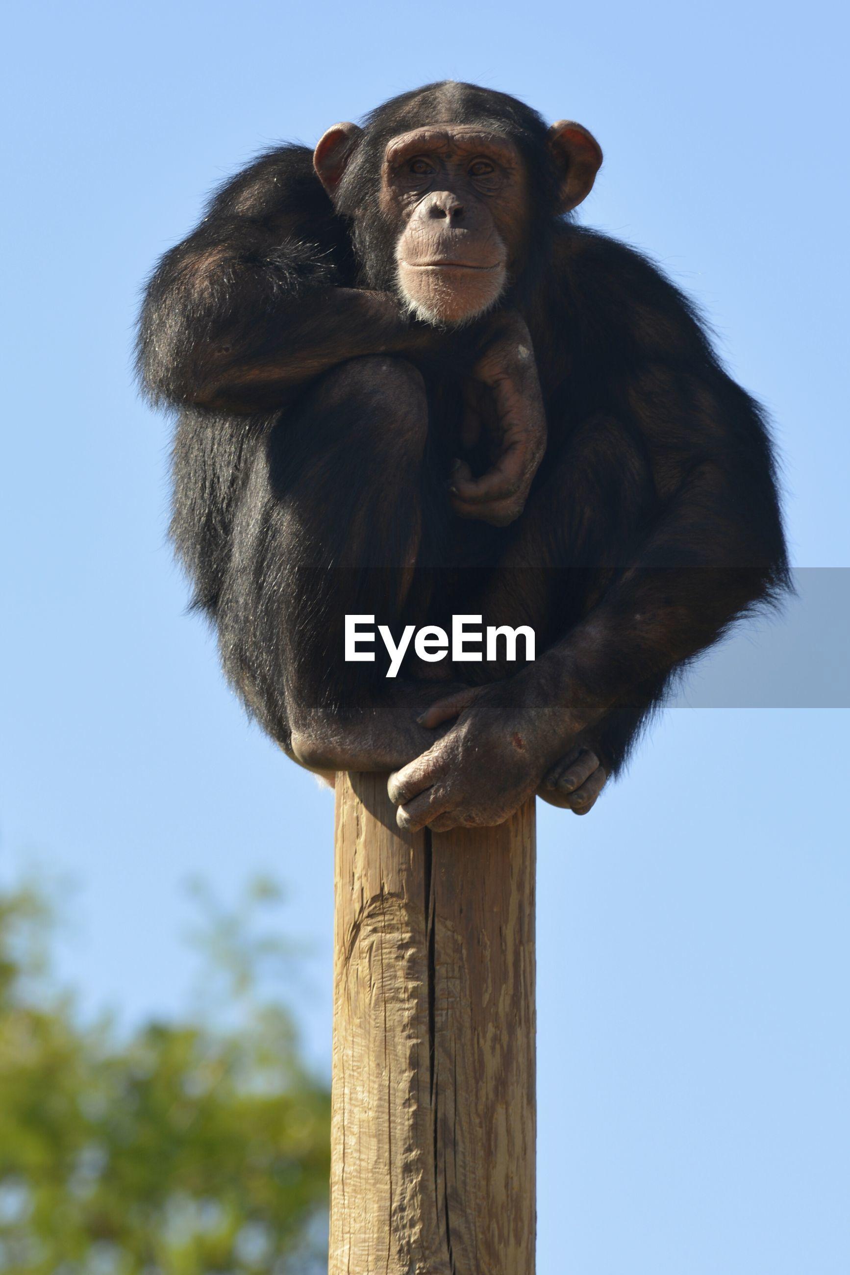 Portrait of chimpanzee on wooden post