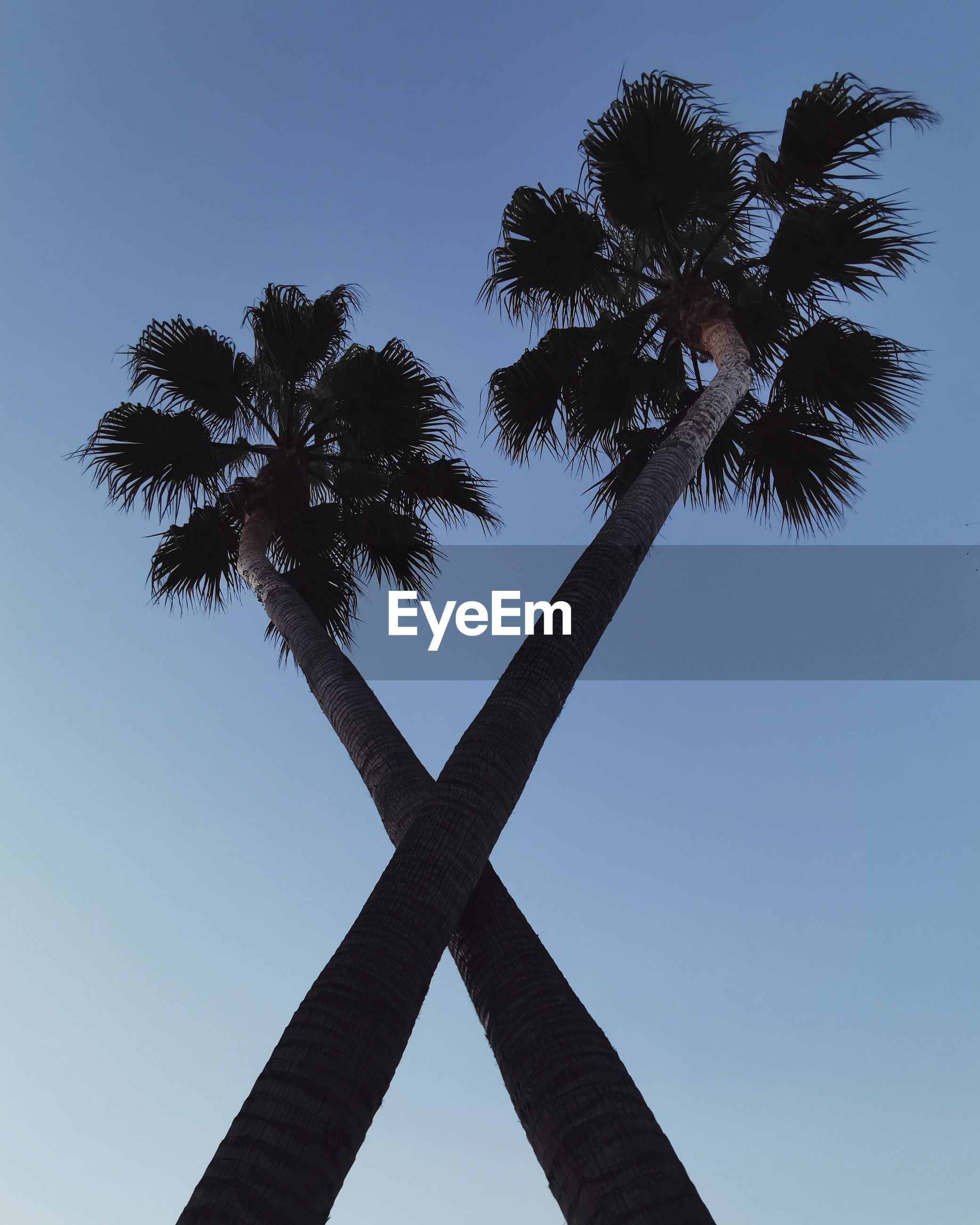 LOW ANGLE VIEW OF SILHOUETTE COCONUT PALM TREE AGAINST CLEAR SKY