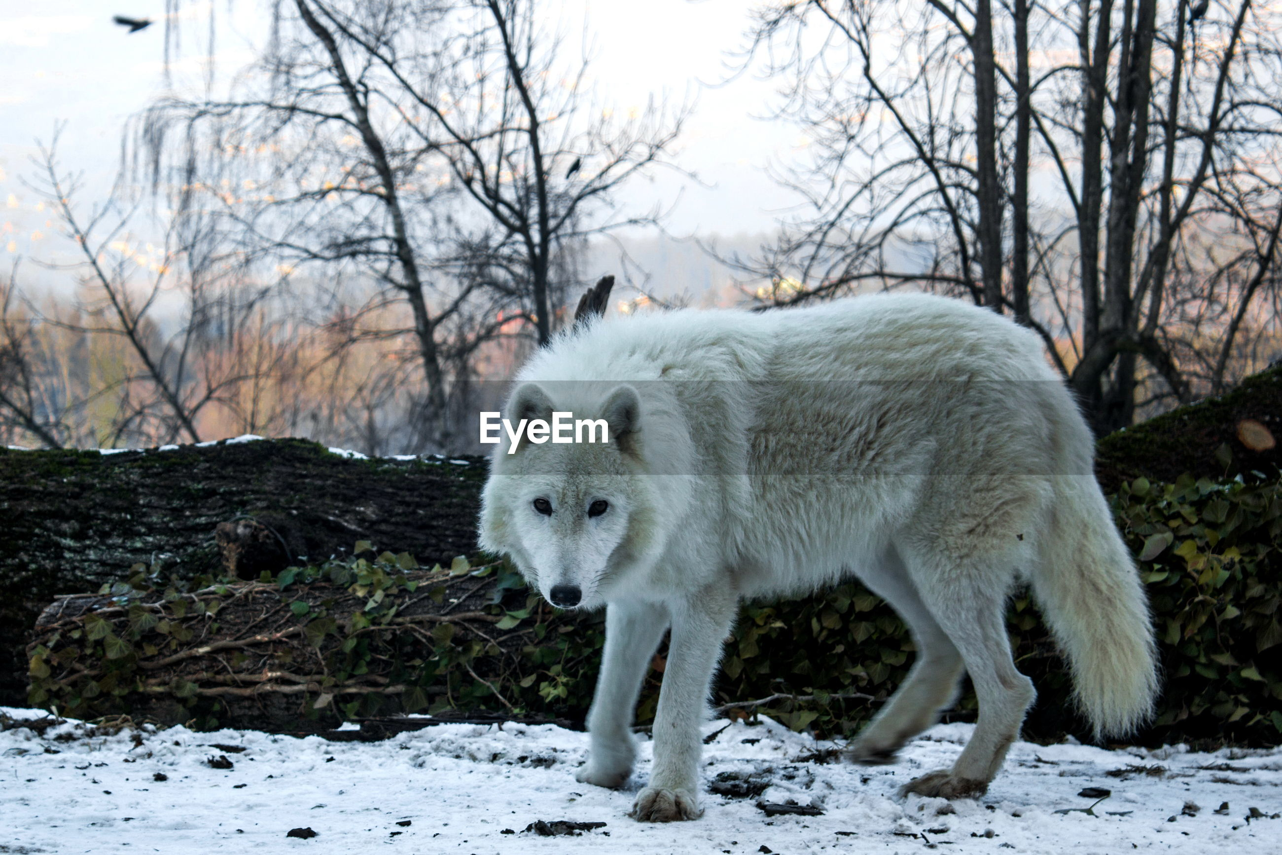one animal, animal themes, white color, winter, mammal, cold temperature, snow, field, animals in the wild, animal wildlife, nature, outdoors, no people, bare tree, day, standing, domestic animals, tree, beauty in nature, close-up, sky
