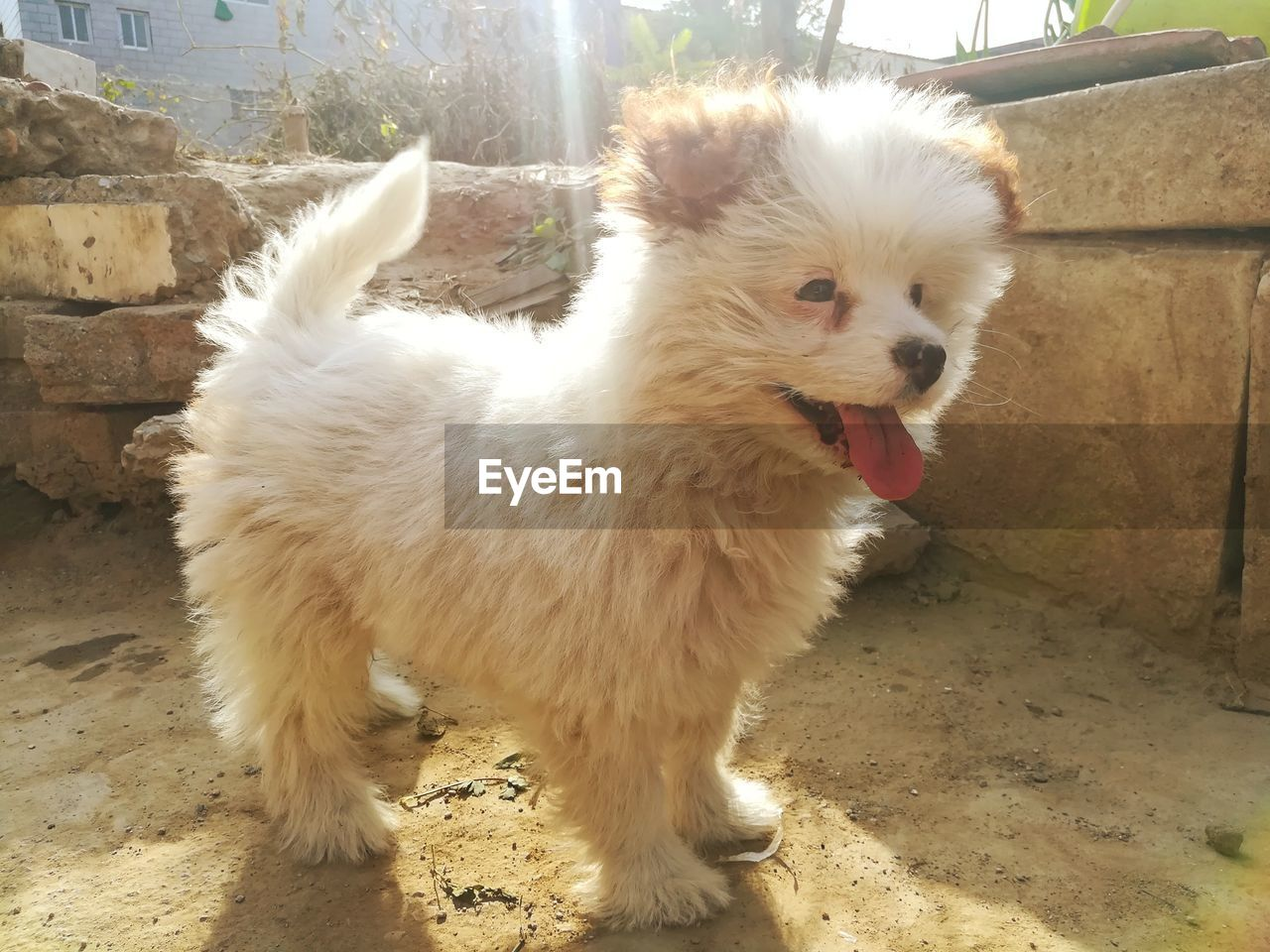 mammal, one animal, domestic animals, domestic, pets, vertebrate, dog, canine, no people, day, white color, standing, looking, young animal, portrait, looking away, land, mouth open, pomeranian