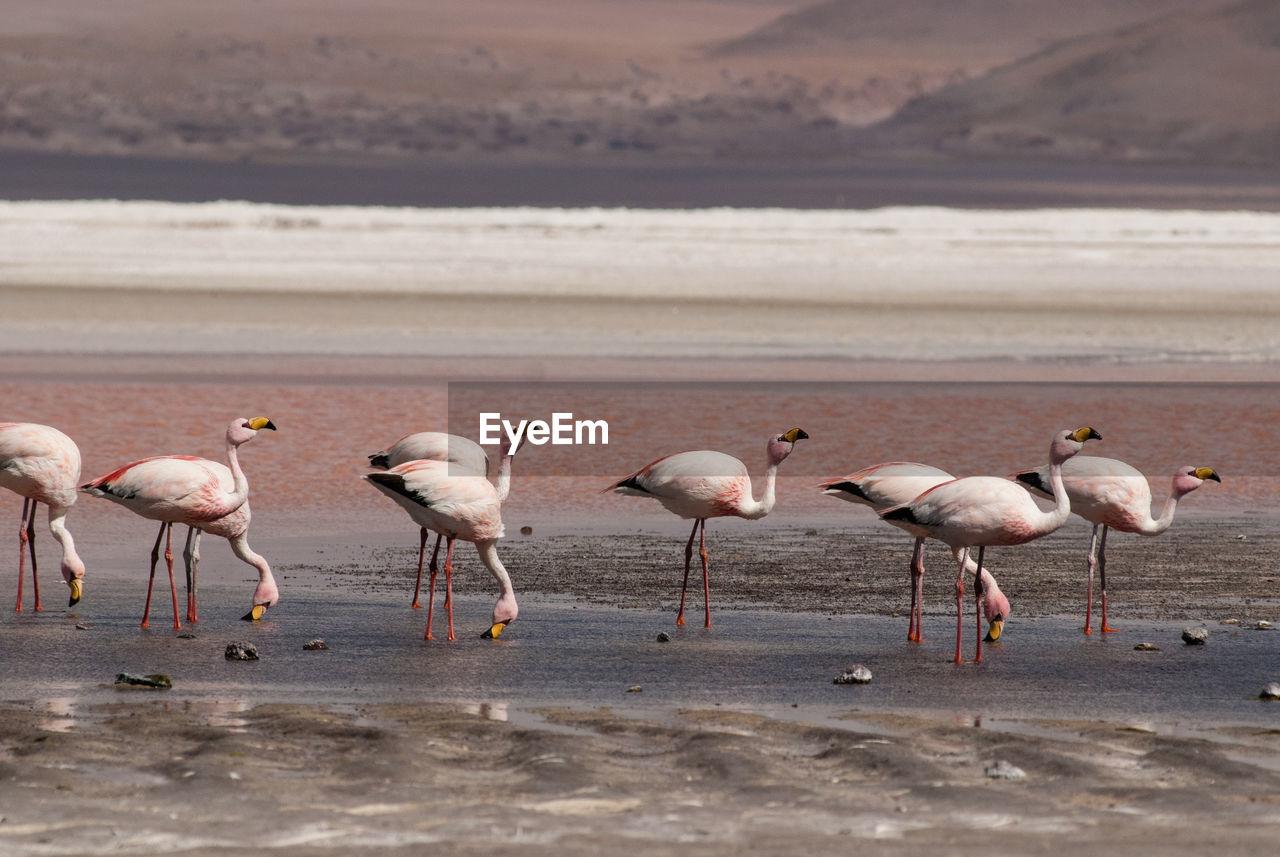 Flamingoes At Lakeshore