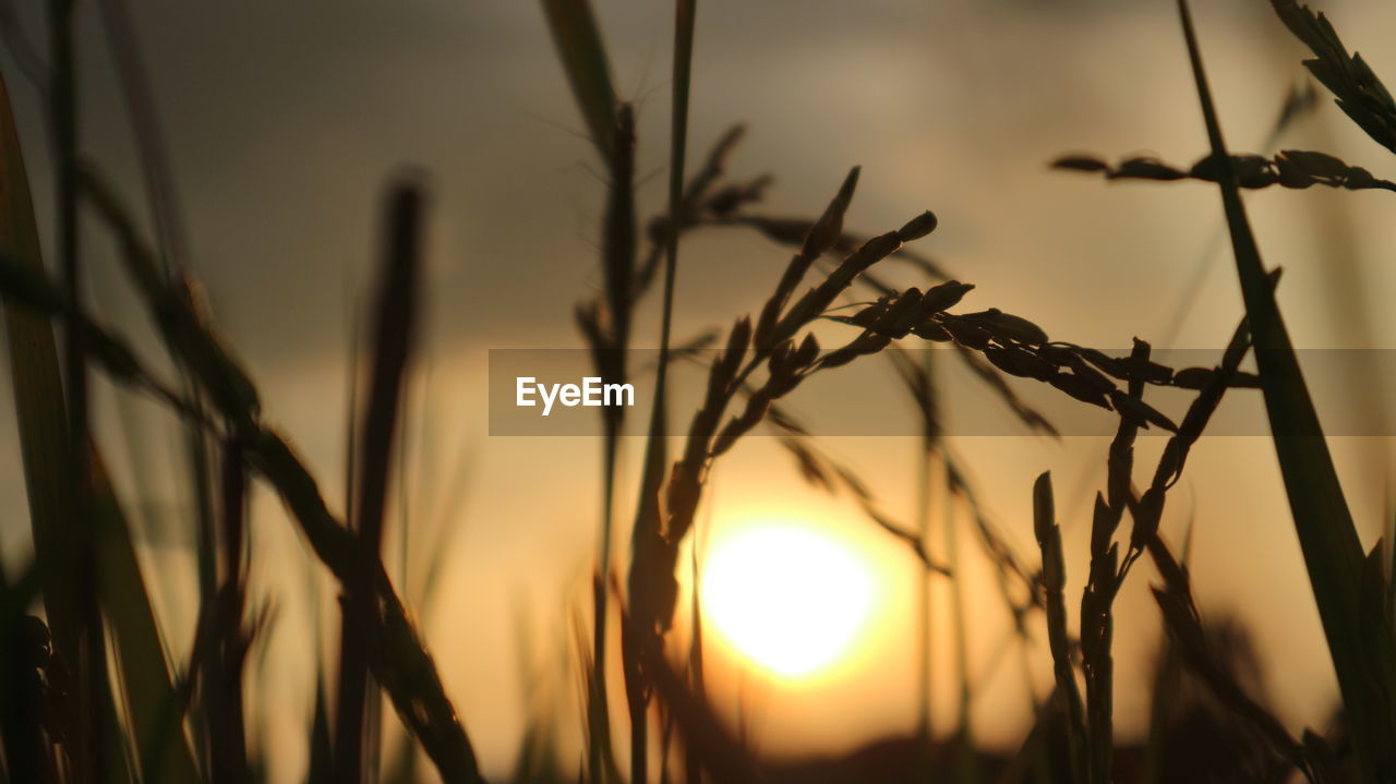 nature, focus on foreground, sunset, growth, sun, no people, outdoors, beauty in nature, close-up, plant, day