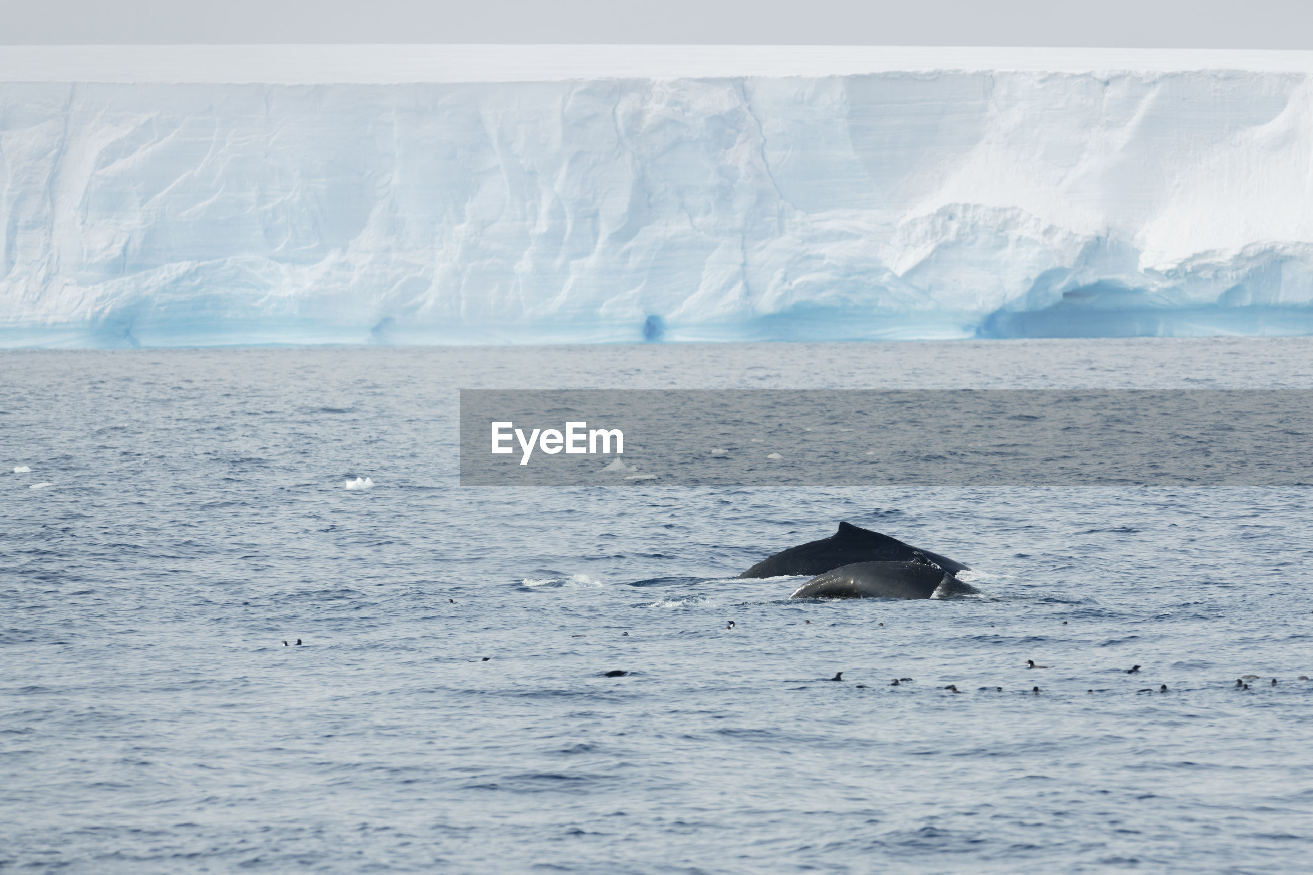Humback whale with a calf and penguins in front of a tabular iceberg in the antarctic sound.