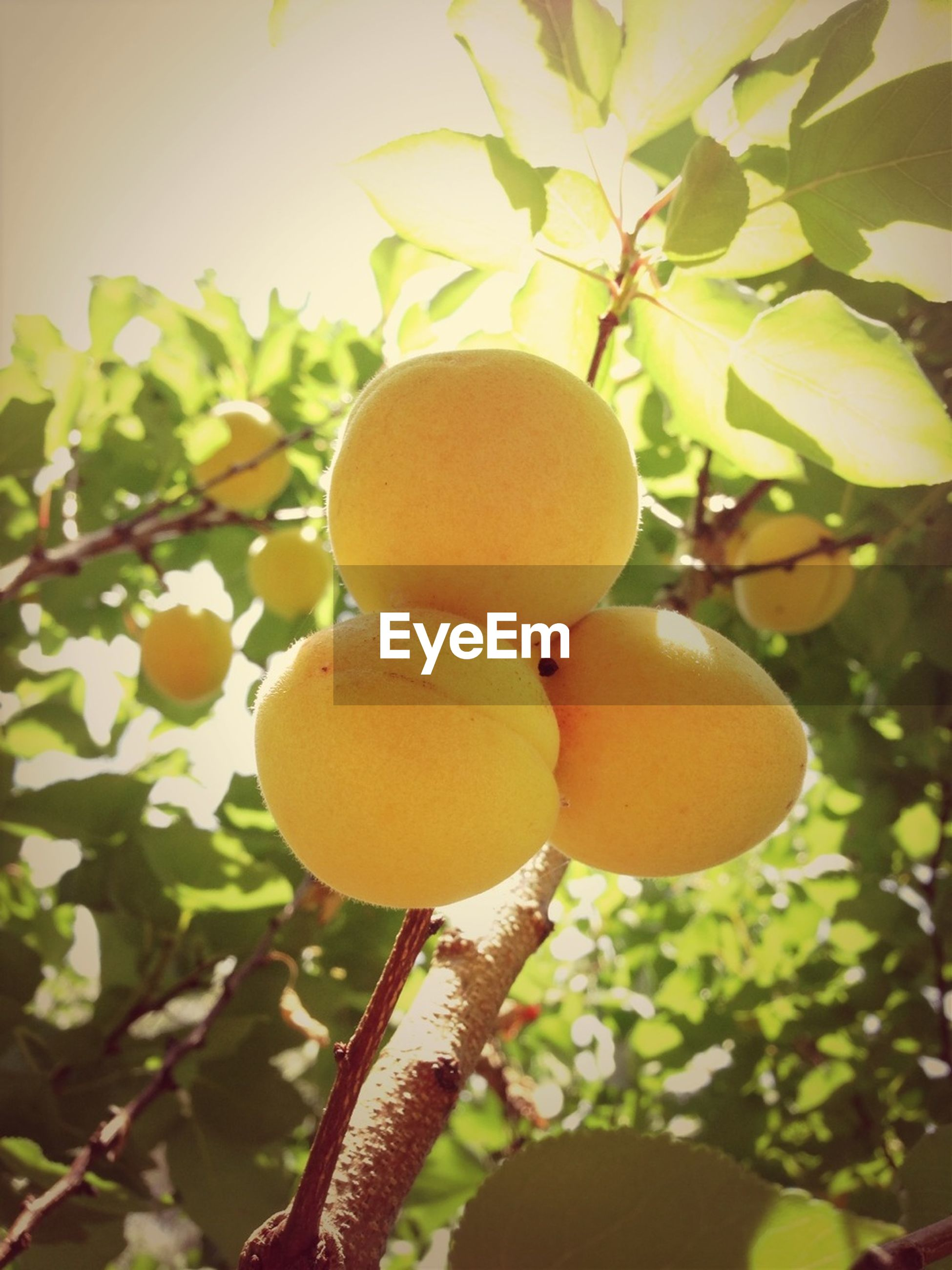 food and drink, fruit, food, healthy eating, freshness, tree, growth, close-up, branch, ripe, focus on foreground, hanging, orange - fruit, leaf, citrus fruit, nature, apple - fruit, green color, organic, growing