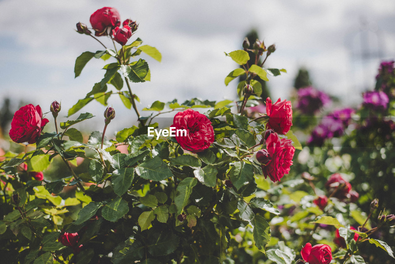 red, growth, fruit, leaf, nature, freshness, plant, beauty in nature, flower, green color, raspberry, no people, focus on foreground, day, petal, rose - flower, outdoors, close-up, food, tree, fragility, healthy eating, flower head, sky