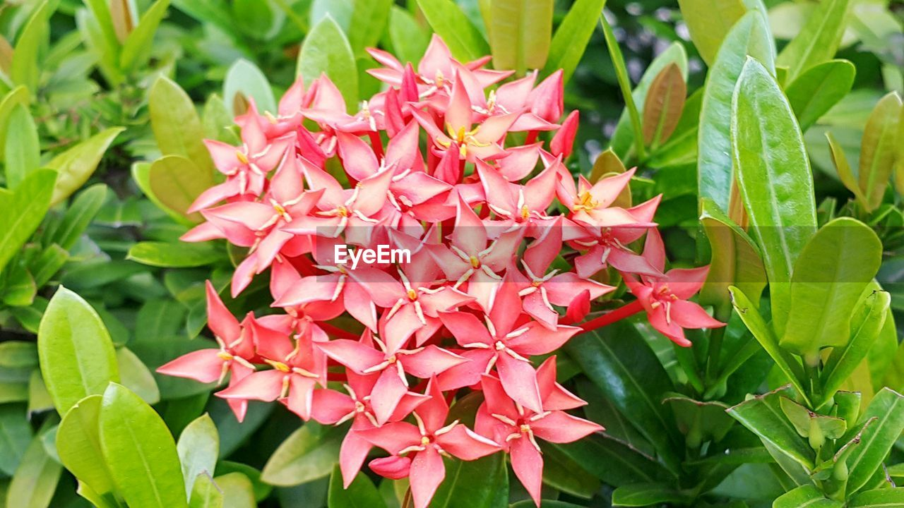 growth, beauty in nature, petal, nature, flower, fragility, leaf, ixora, plant, freshness, flower head, day, blooming, outdoors, no people, close-up