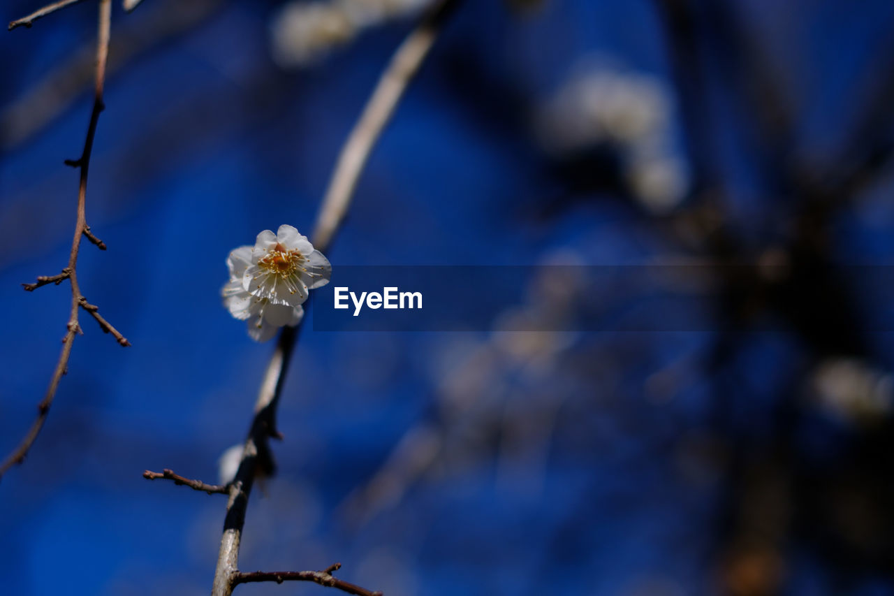flower, fragility, nature, beauty in nature, growth, focus on foreground, freshness, petal, close-up, flower head, springtime, no people, day, outdoors, blue, branch, blooming, tree