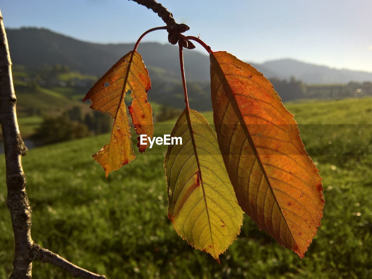 leaf, autumn, change, focus on foreground, day, nature, outdoors, dry, close-up, no people, beauty in nature, tranquility, tree, maple, fragility, water, grass, sky