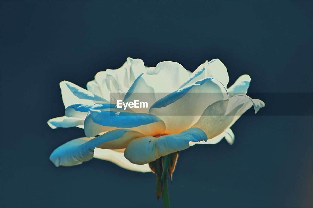vulnerability, flowering plant, fragility, close-up, flower, petal, freshness, inflorescence, flower head, plant, no people, beauty in nature, studio shot, blue, nature, growth, indoors, white color, blue background, black background