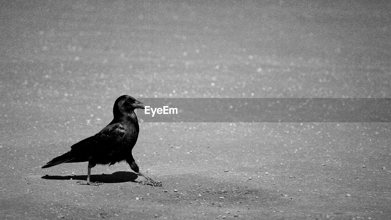 one animal, bird, animal themes, animal, vertebrate, animals in the wild, animal wildlife, day, no people, nature, land, raven - bird, outdoors, crow, black color, perching, full length, side view, walking, focus on foreground