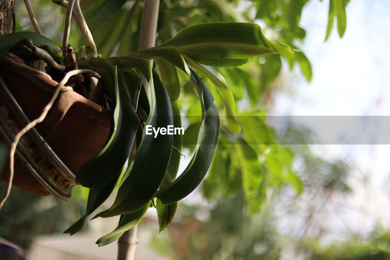 plant, growth, plant part, leaf, close-up, no people, nature, day, focus on foreground, green color, beauty in nature, outdoors, selective focus, tree, hanging, freshness, branch, low angle view, food and drink, tranquility