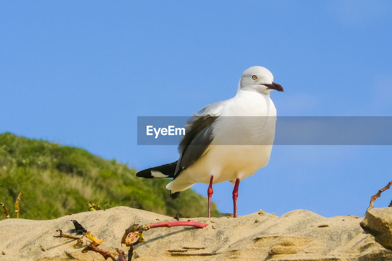 animal themes, vertebrate, animal, animals in the wild, bird, animal wildlife, sky, one animal, clear sky, perching, nature, day, copy space, blue, low angle view, no people, seagull, solid, outdoors, rock