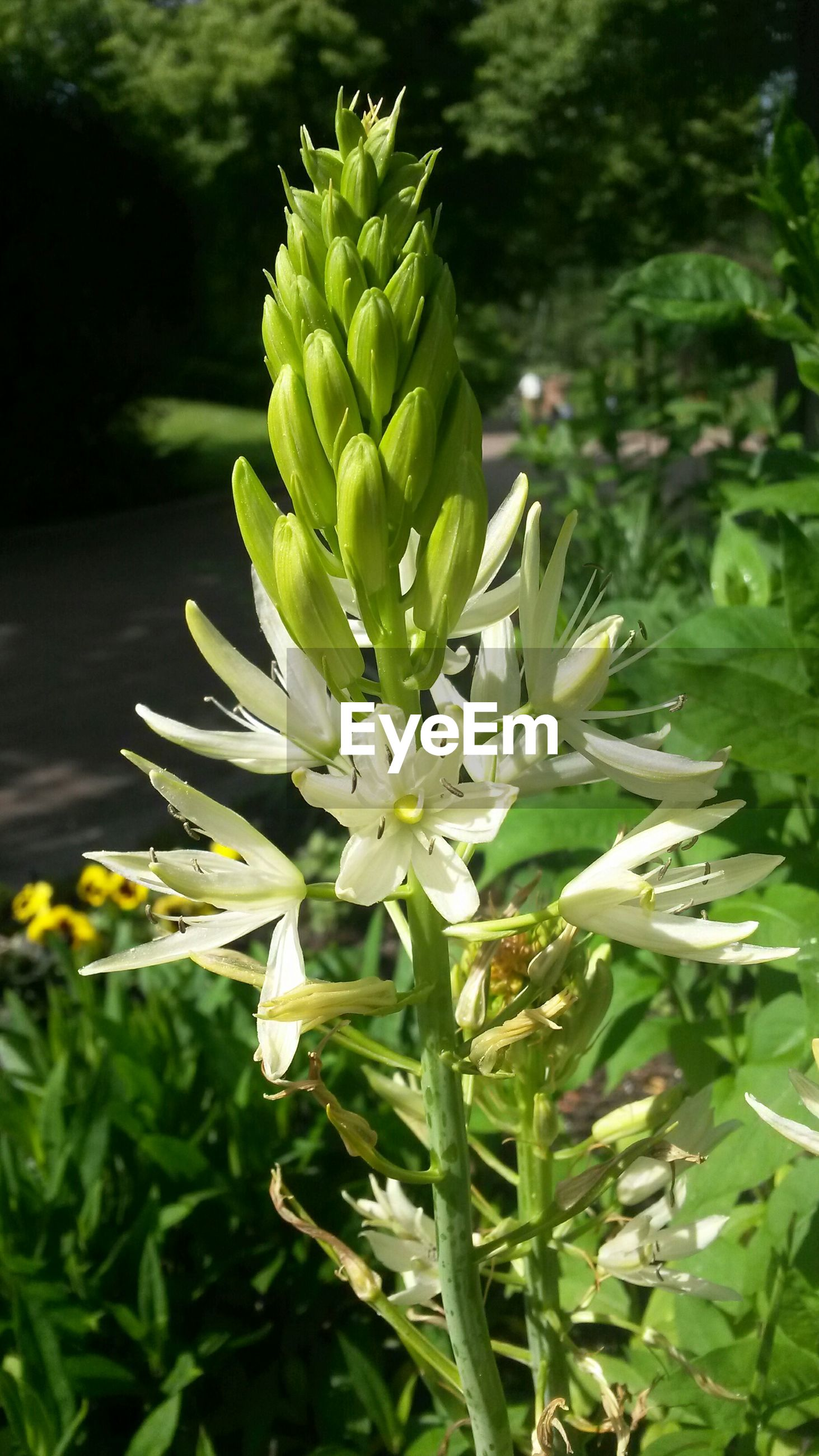 flower, growth, freshness, plant, fragility, green color, leaf, beauty in nature, petal, nature, flower head, close-up, blooming, focus on foreground, white color, in bloom, stem, growing, botany, bud