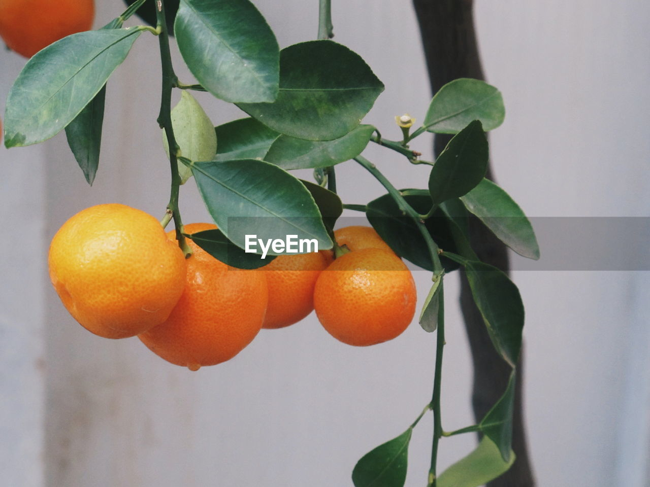 leaf, plant part, fruit, food, food and drink, healthy eating, orange color, freshness, growth, plant, citrus fruit, orange - fruit, wellbeing, nature, orange, close-up, fruit tree, focus on foreground, tree, ripe, no people, organic, outdoors
