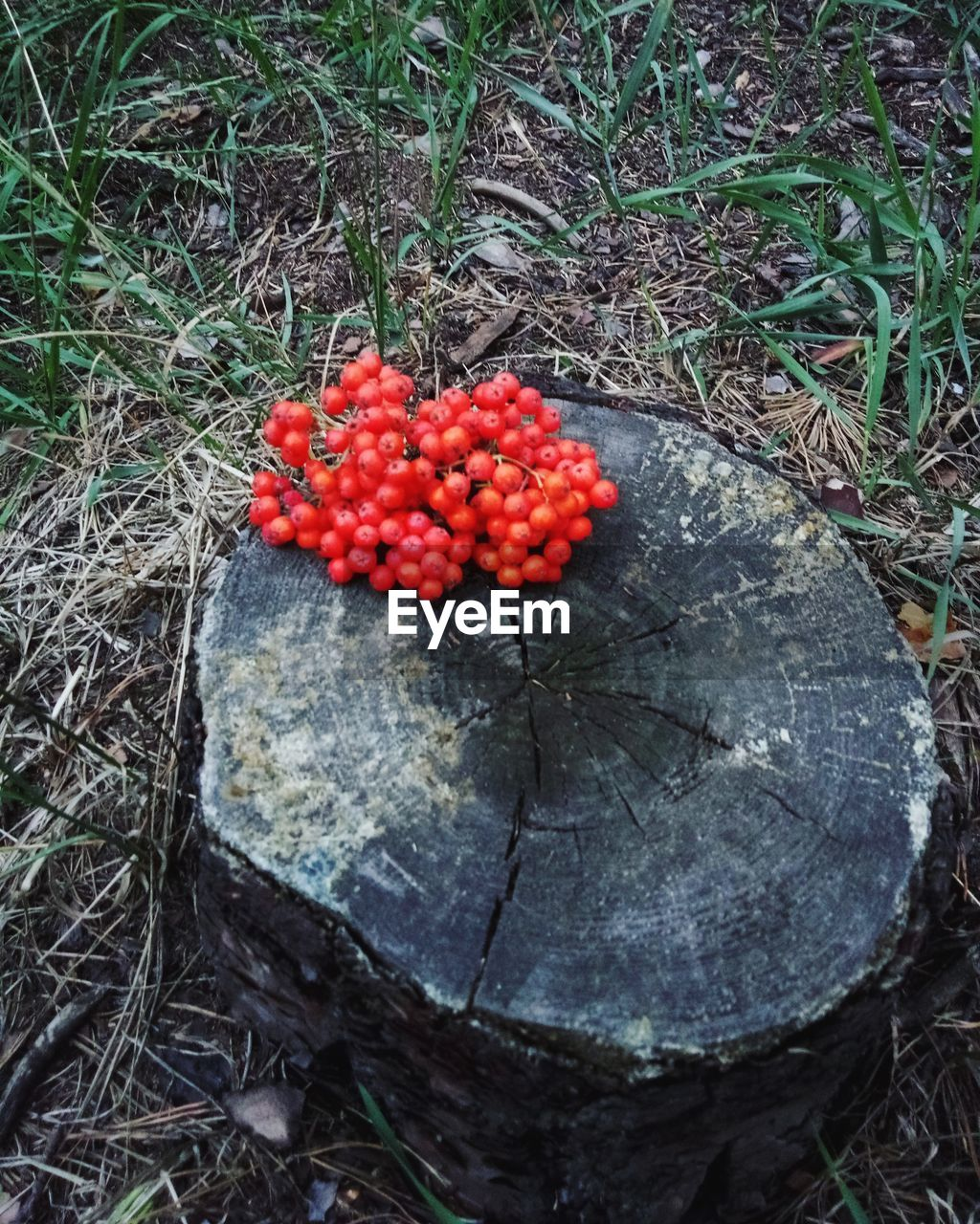 High angle view of red fruits on tree stump