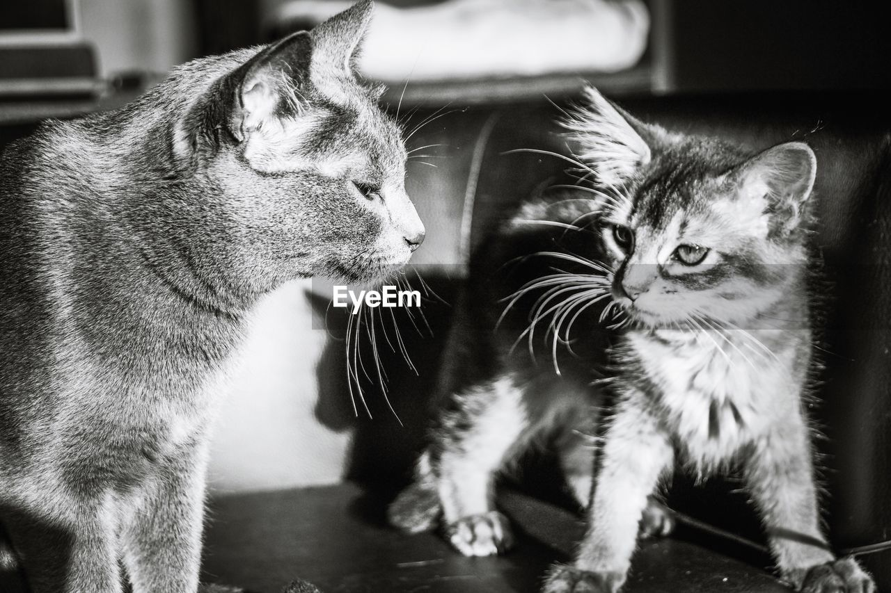 domestic cat, cat, feline, domestic animals, domestic, pets, mammal, animal themes, animal, group of animals, two animals, vertebrate, indoors, no people, whisker, focus on foreground, close-up, togetherness, home interior, kitten, animal head, animal family