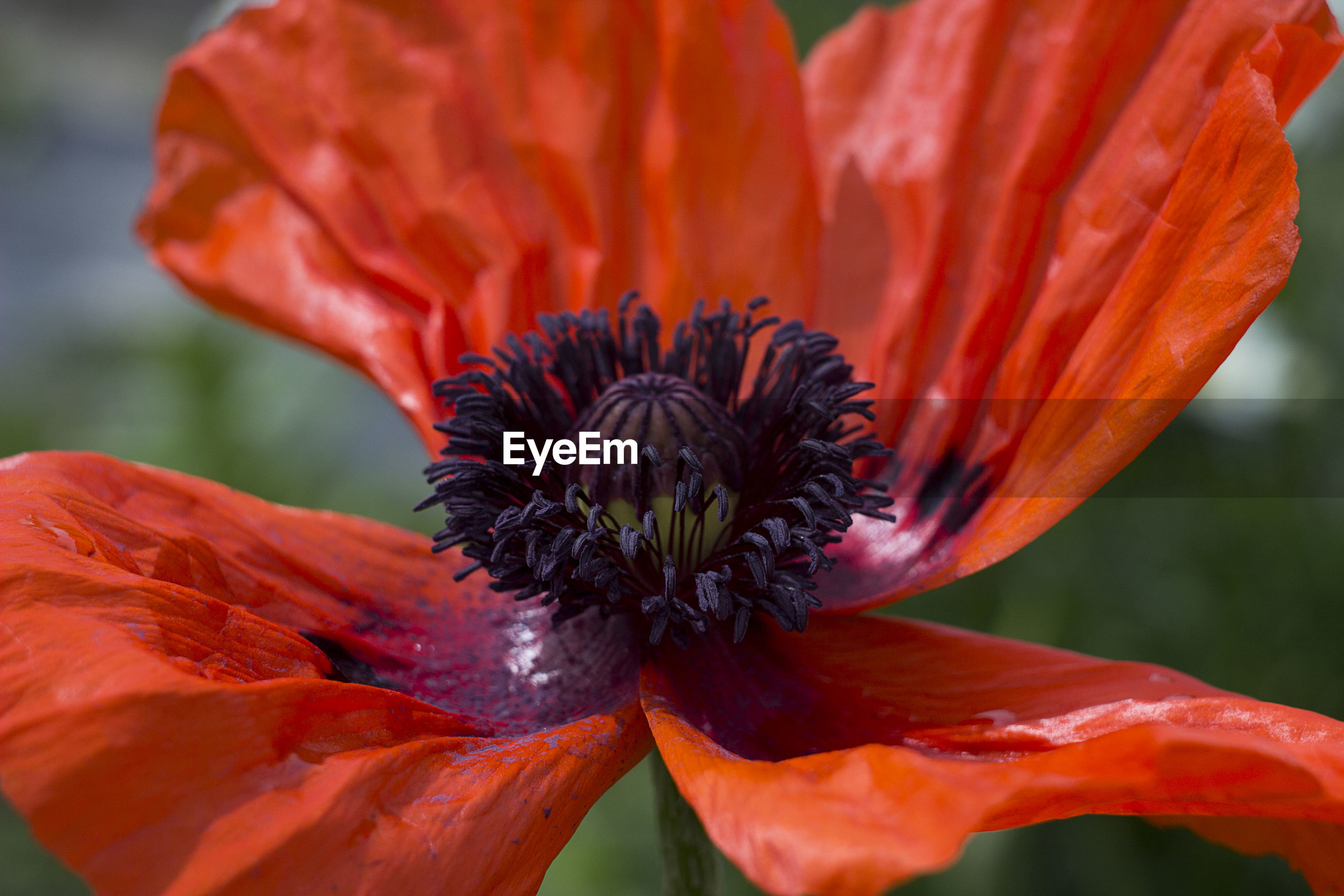flower, petal, fragility, beauty in nature, growth, flower head, freshness, nature, blooming, red, orange color, plant, pollen, close-up, day, outdoors, focus on foreground, no people, park - man made space, stamen, hibiscus, day lily