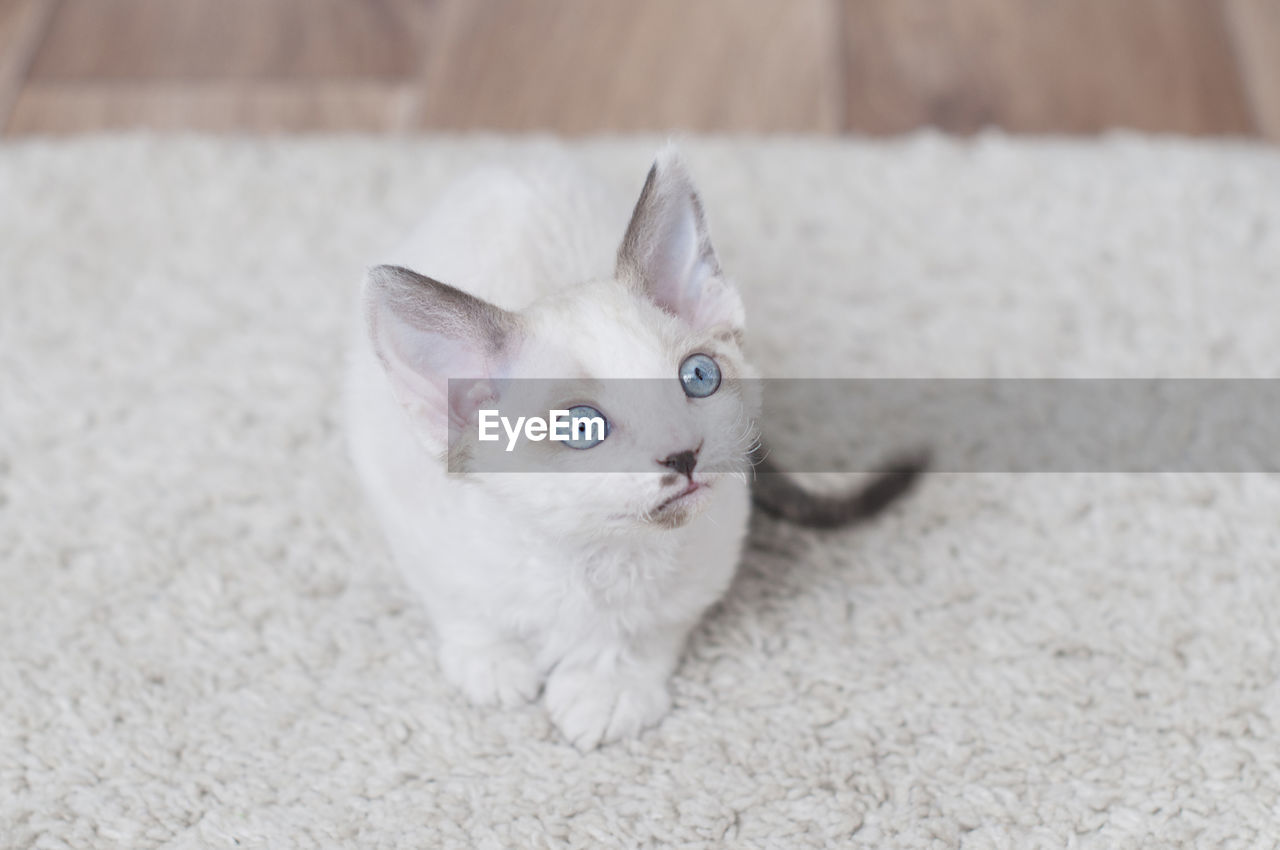 domestic, cat, domestic cat, pets, domestic animals, feline, one animal, mammal, portrait, looking at camera, vertebrate, white color, no people, indoors, high angle view, kitten, focus on foreground, whisker, animal eye