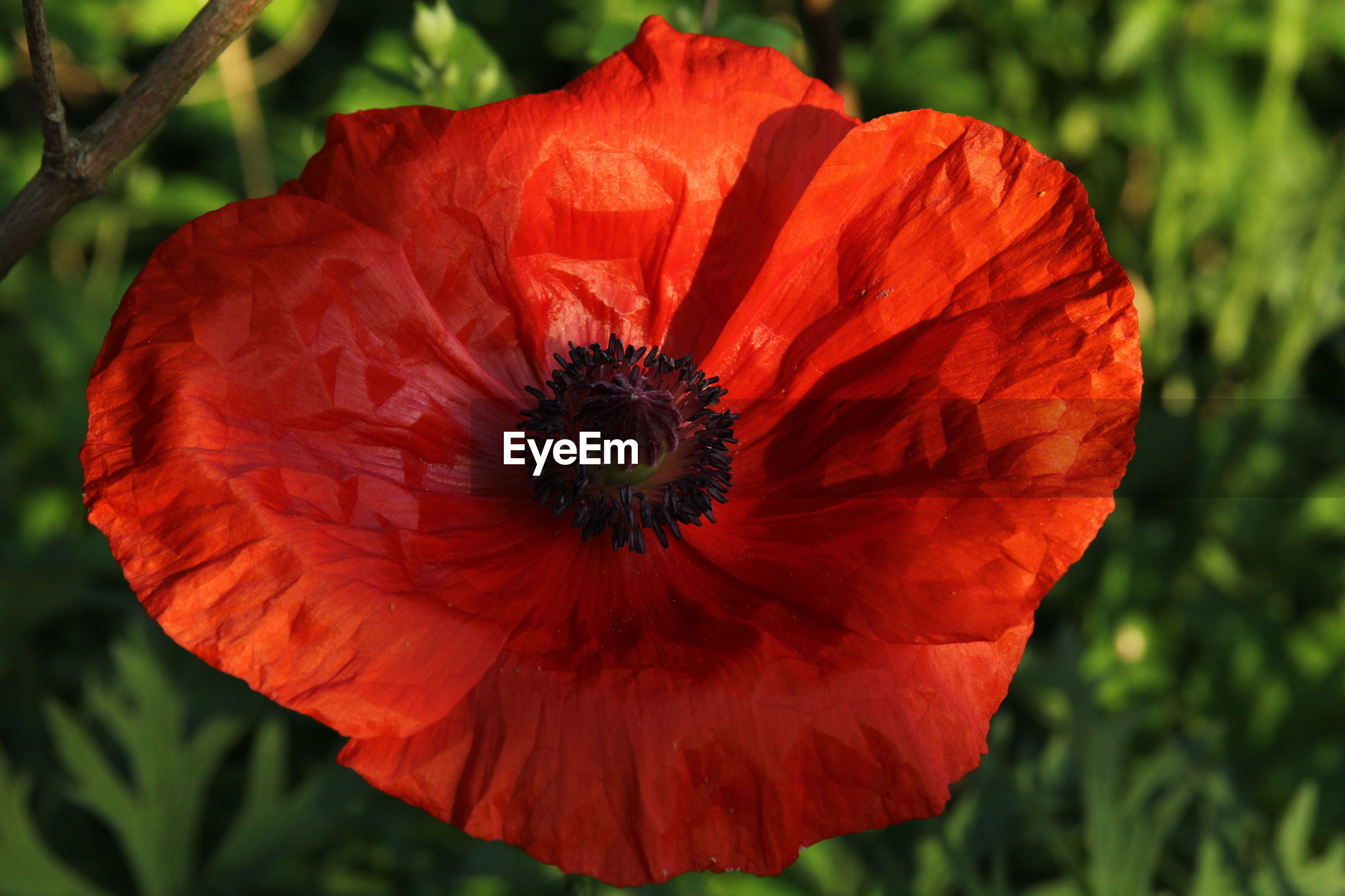 Close-up of red poppy growing outdoors