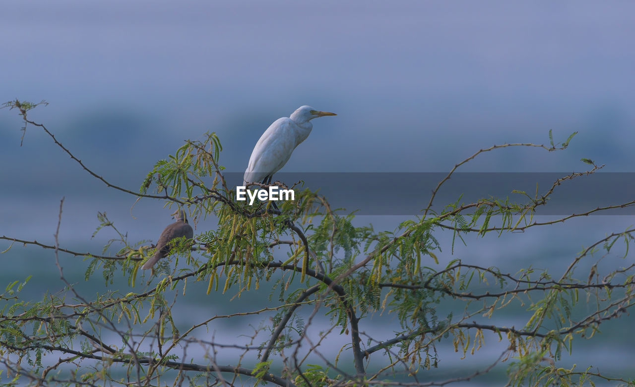 animal themes, animal, animals in the wild, animal wildlife, vertebrate, bird, one animal, perching, plant, no people, nature, tree, branch, outdoors, day, white color, sky, egret, beauty in nature, focus on foreground