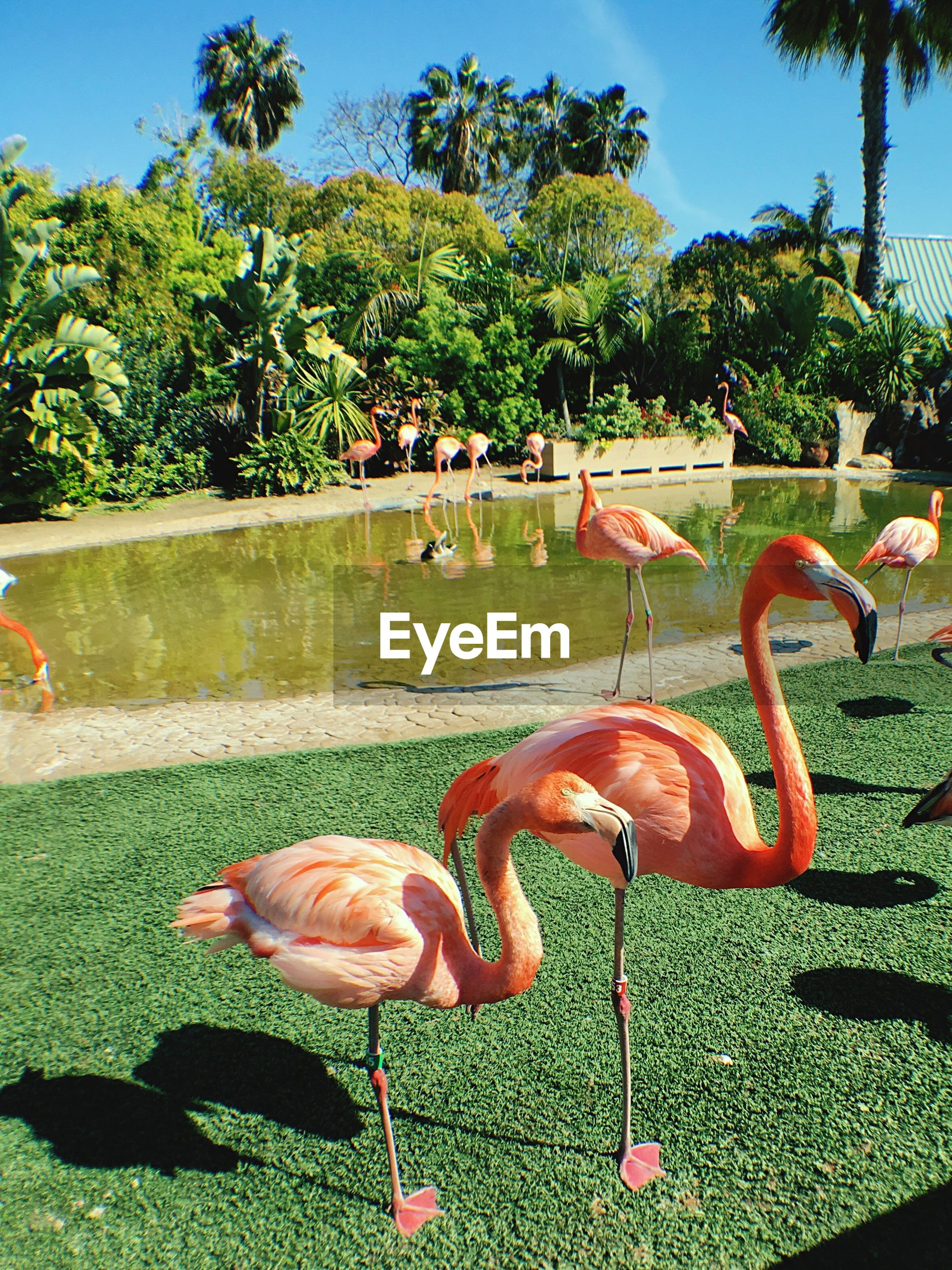 Flamingoes on grass at seaworld san diego