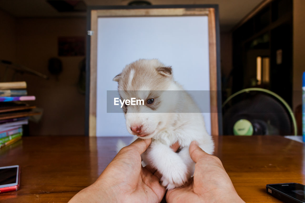 domestic, pets, one animal, mammal, domestic animals, real people, one person, human hand, human body part, hand, indoors, vertebrate, holding, lifestyles, focus on foreground, home interior, dog, pet owner, finger