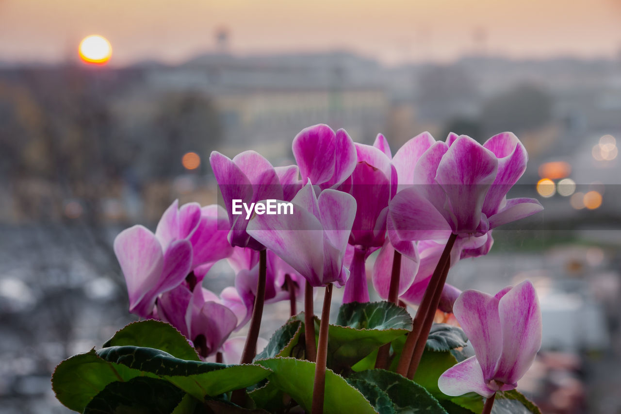 flowering plant, pink color, flower, beauty in nature, petal, plant, vulnerability, freshness, close-up, fragility, focus on foreground, nature, growth, flower head, inflorescence, sunset, plant part, leaf, no people, outdoors
