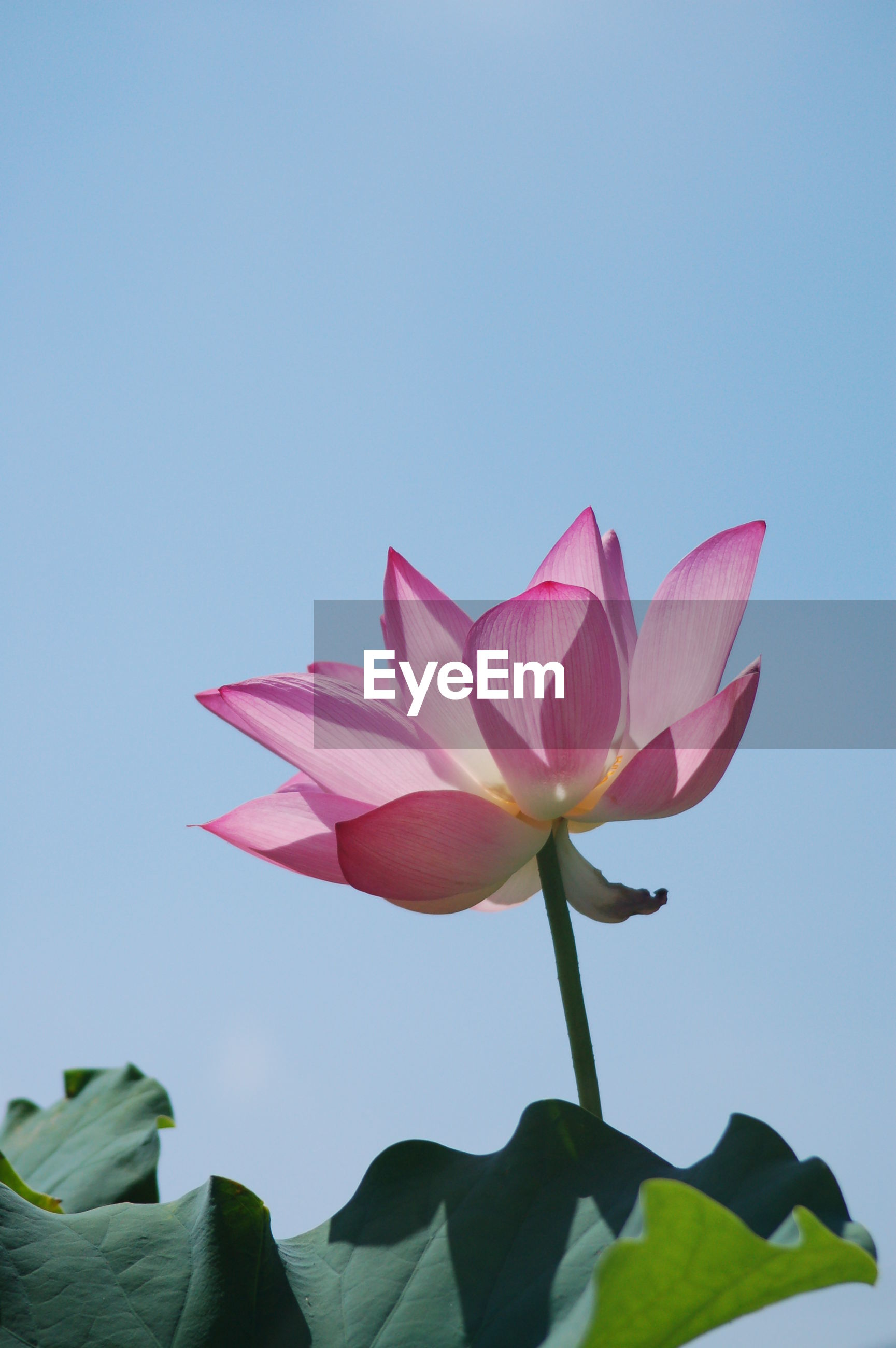 CLOSE-UP OF PINK LOTUS WATER LILY AGAINST SKY