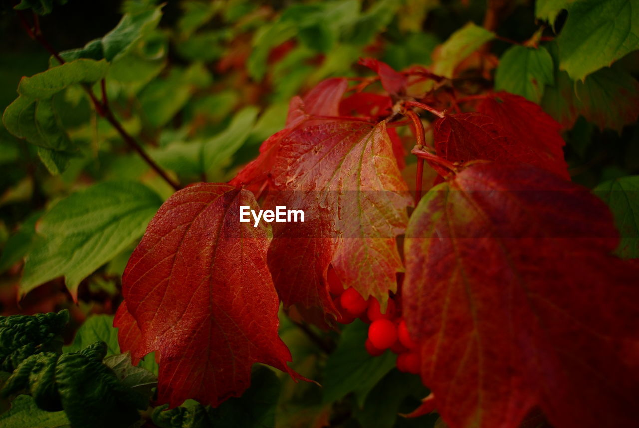 leaf, red, nature, autumn, beauty in nature, change, growth, day, outdoors, no people, fragility, close-up, plant, hibiscus, freshness, flower head