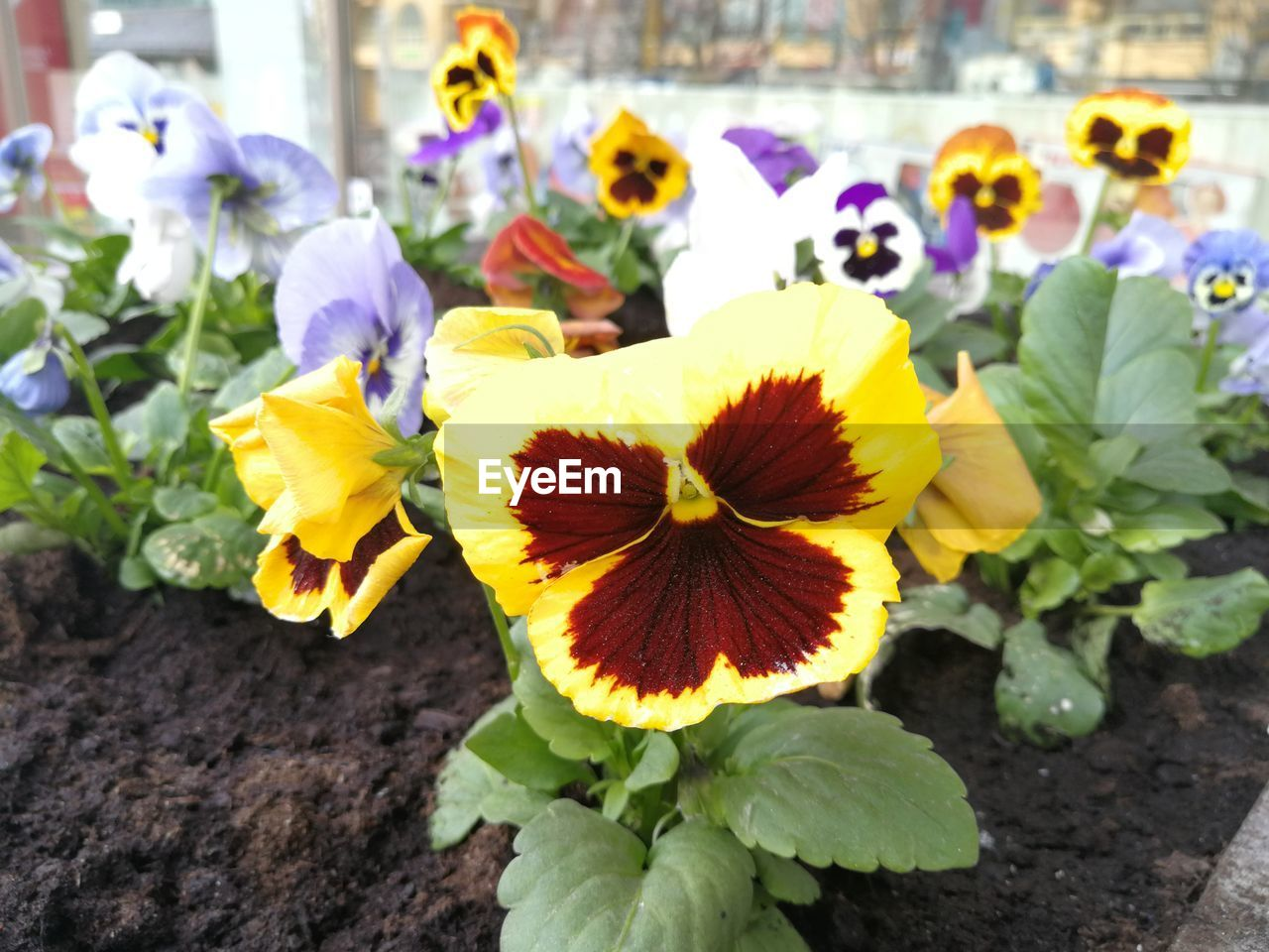 flowering plant, flower, vulnerability, plant, fragility, beauty in nature, flower head, freshness, inflorescence, growth, close-up, petal, nature, day, focus on foreground, no people, pansy, yellow, pollen, outdoors, softness