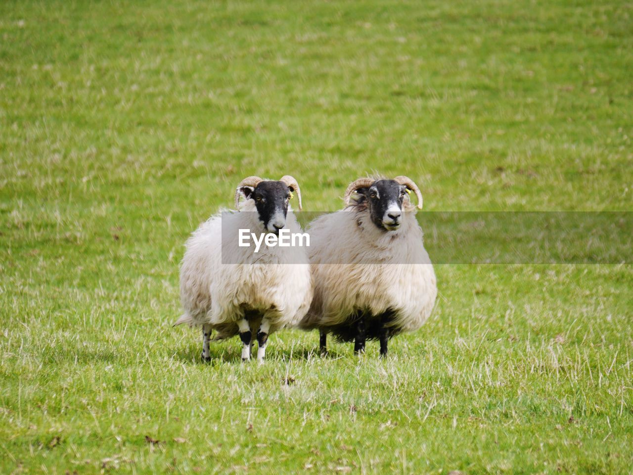 grass, animal themes, animal, group of animals, plant, mammal, field, young animal, land, green color, domestic animals, sheep, livestock, pets, no people, nature, domestic, vertebrate, day, portrait, animal family