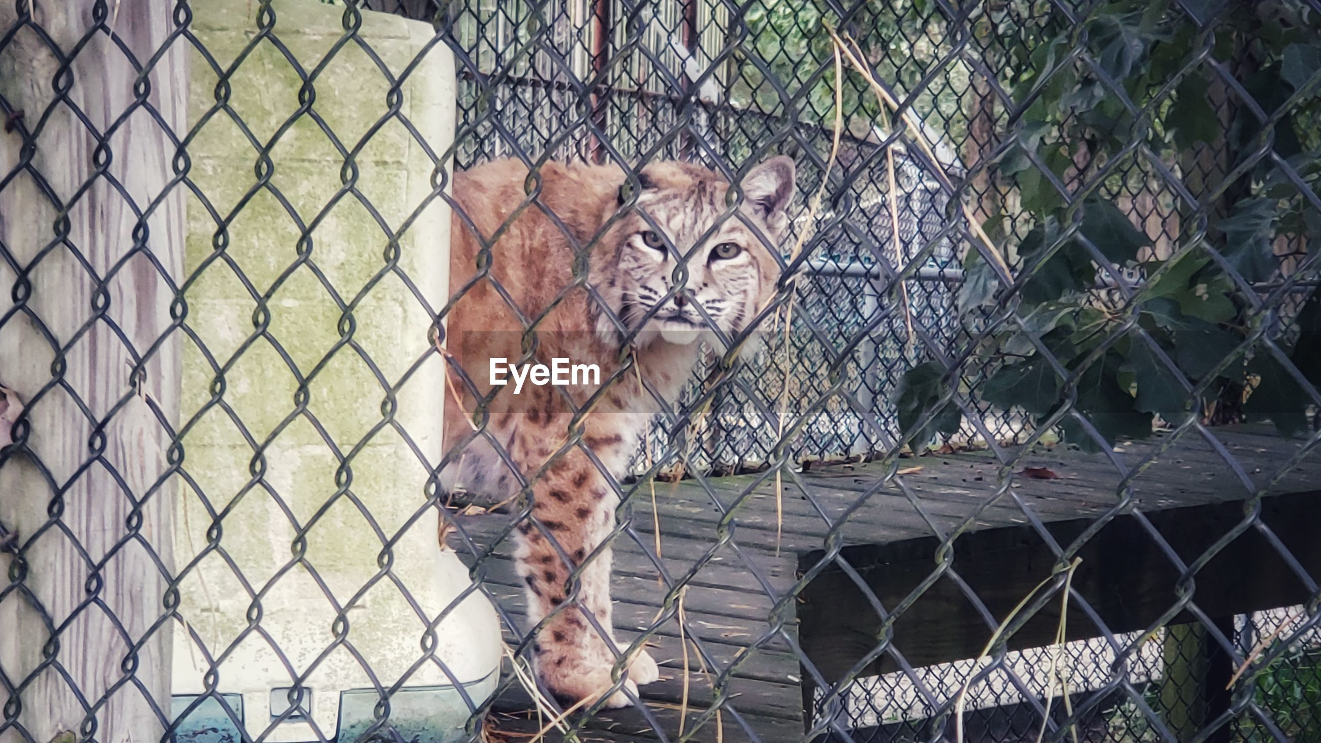 Portrait of cat seen through chainlink fence at zoo